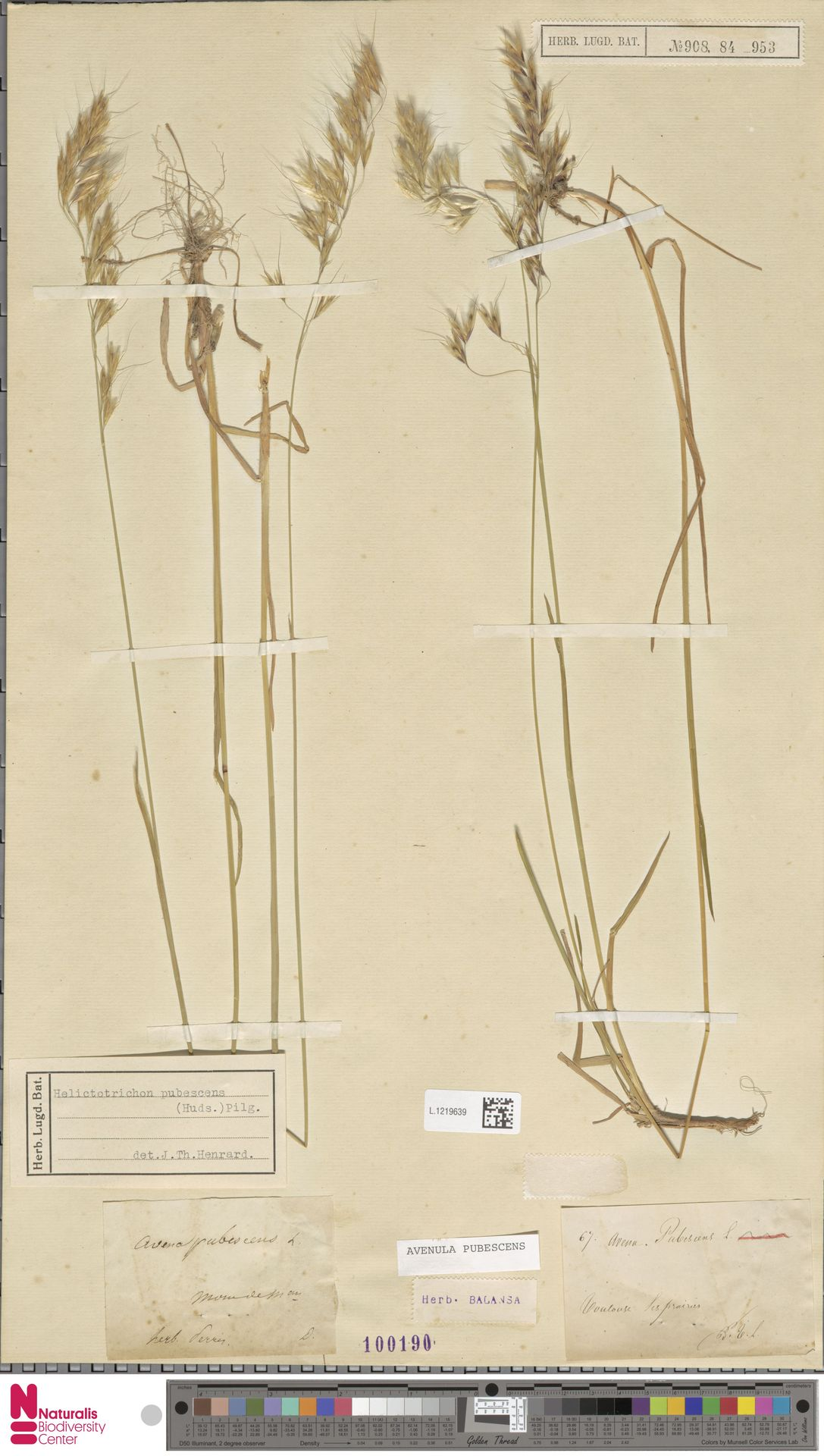 L.1219639 | Avenula pubescens (Huds.) Dumort.