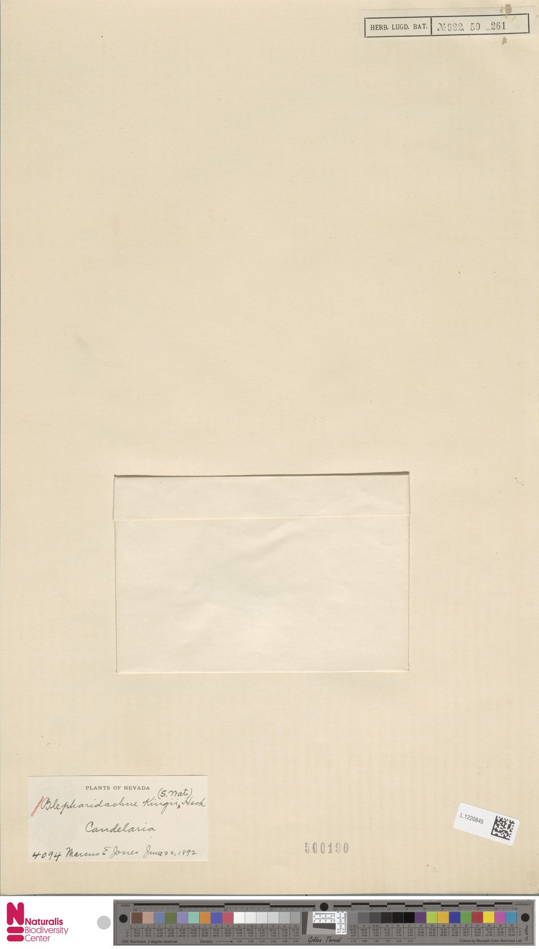 L.1220845 | Blepharidachne kingii (S.Watson) Hack.