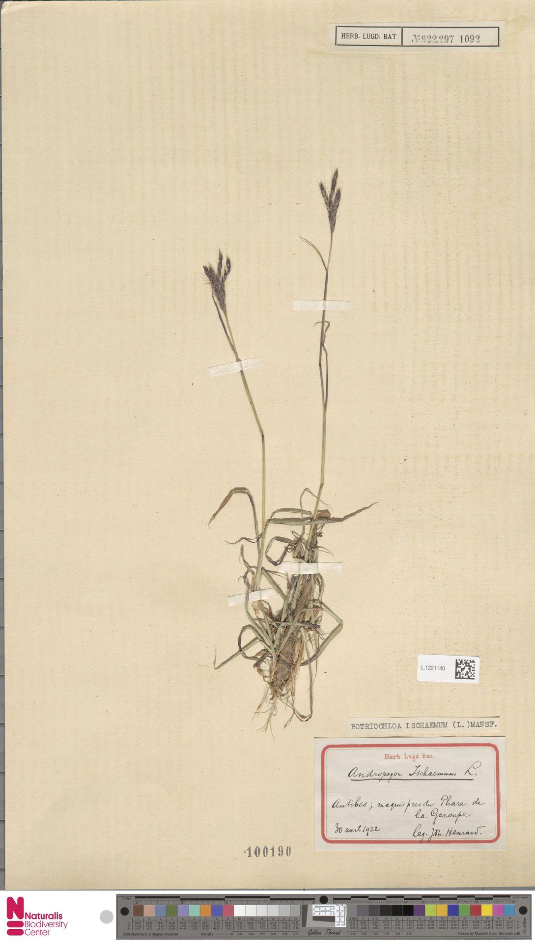 L.1221140 | Bothriochloa ischaemum (L.) Keng