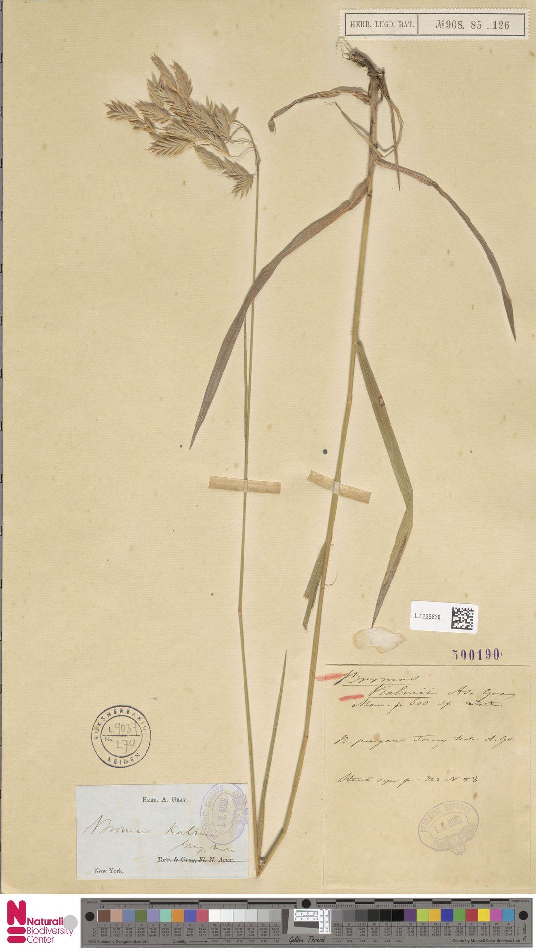 L.1226830 | Bromus kalmii A.Gray