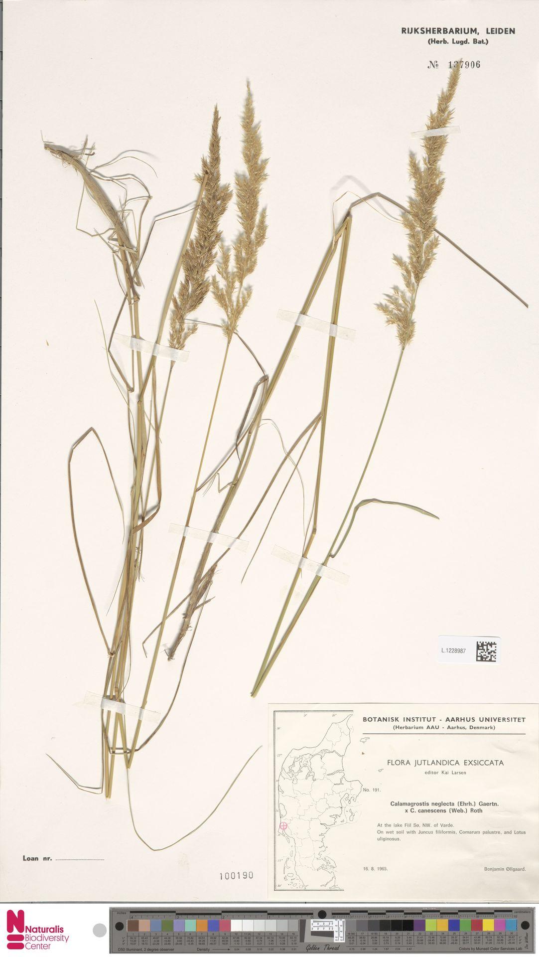 L.1228987 | Calamagrostis canescens (Weber) Roth