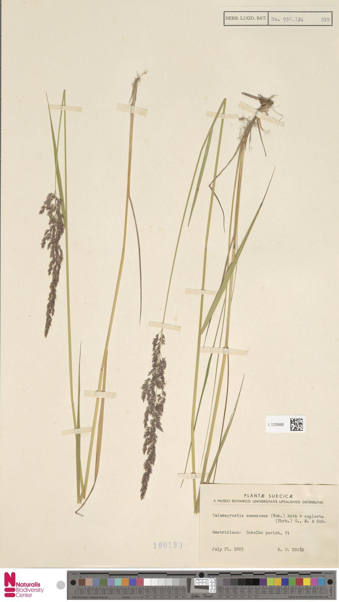L.1228988 | Calamagrostis canescens (Weber) Roth