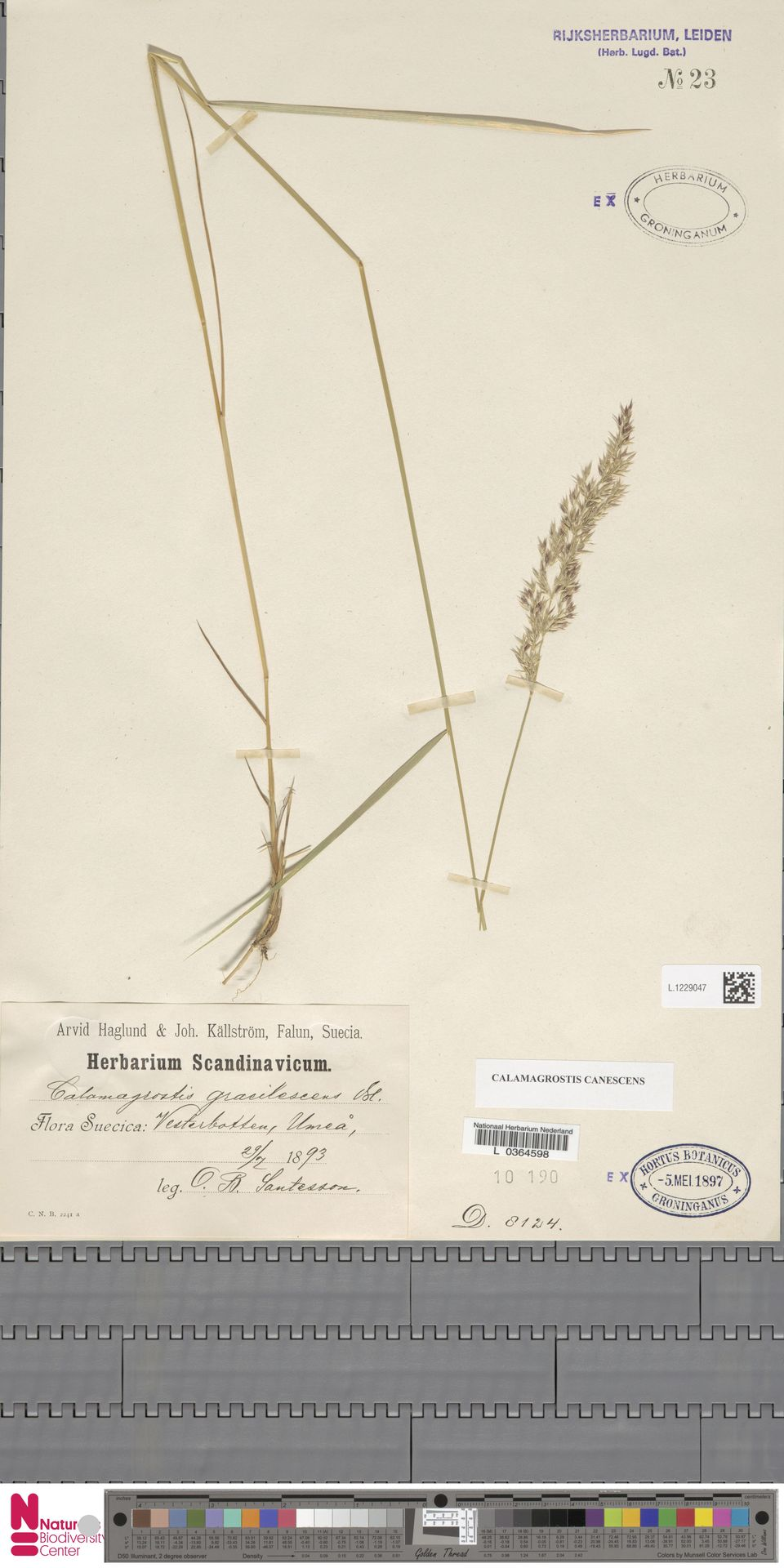 L.1229047 | Calamagrostis canescens (Weber) Roth