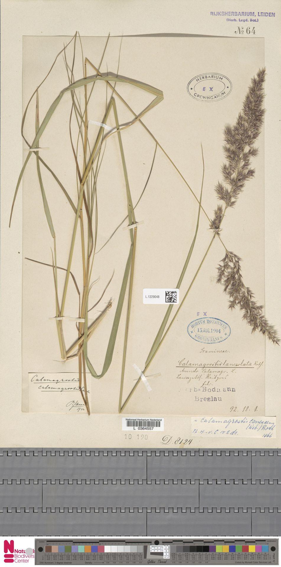 L.1229048   Calamagrostis canescens (Weber) Roth