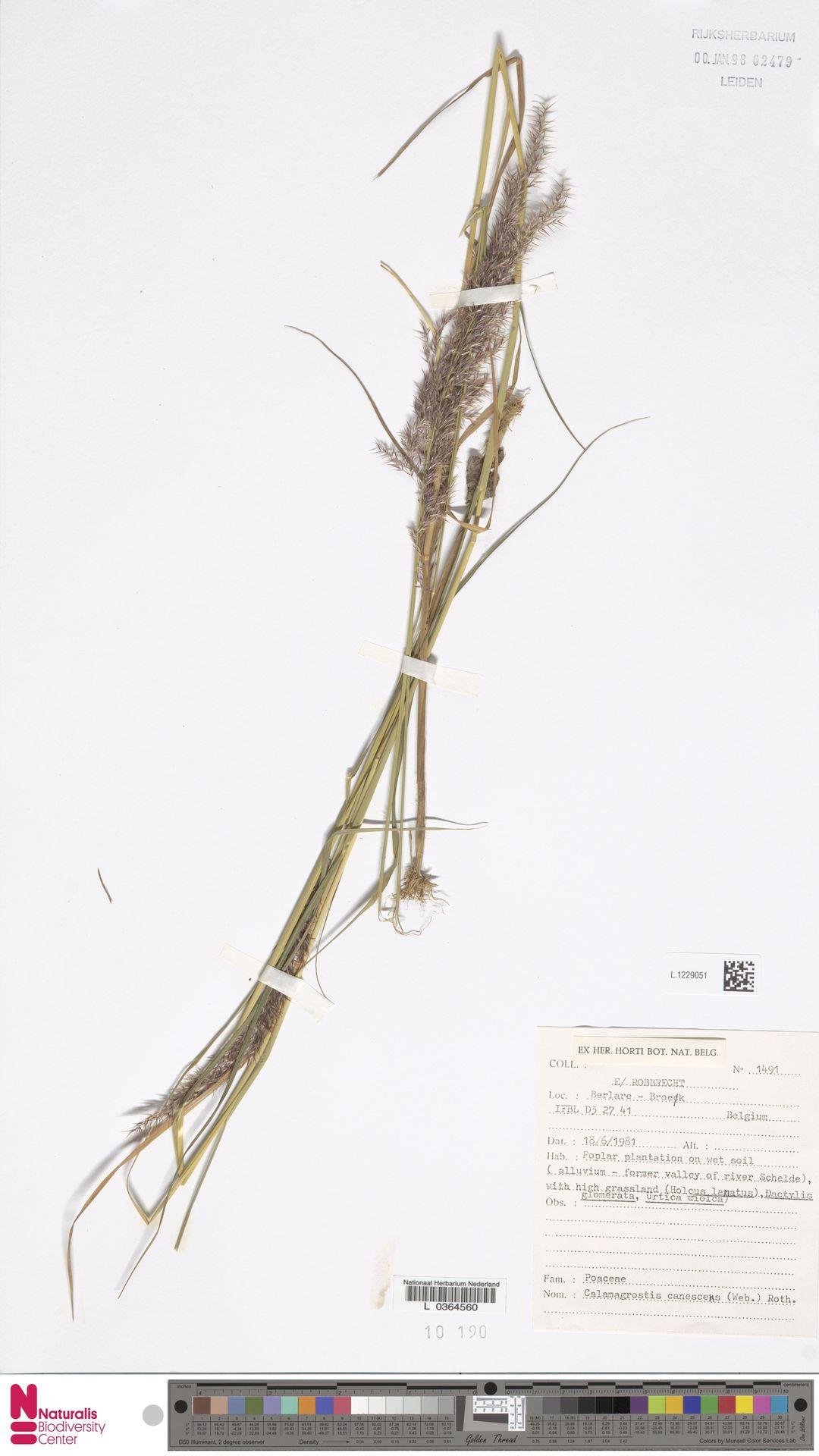 L.1229051 | Calamagrostis canescens (Weber) Roth