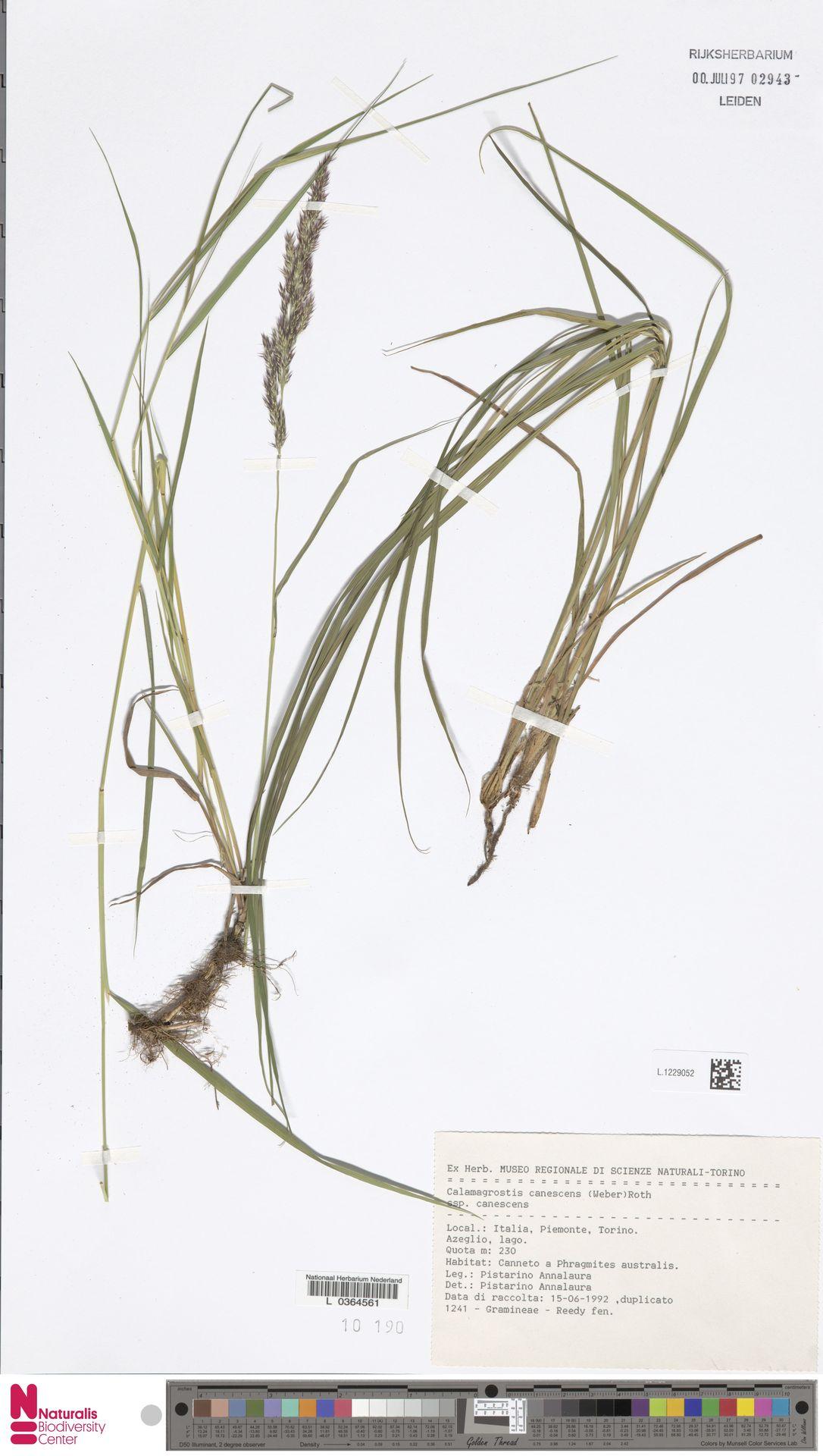 L.1229052 | Calamagrostis canescens (Weber) Roth