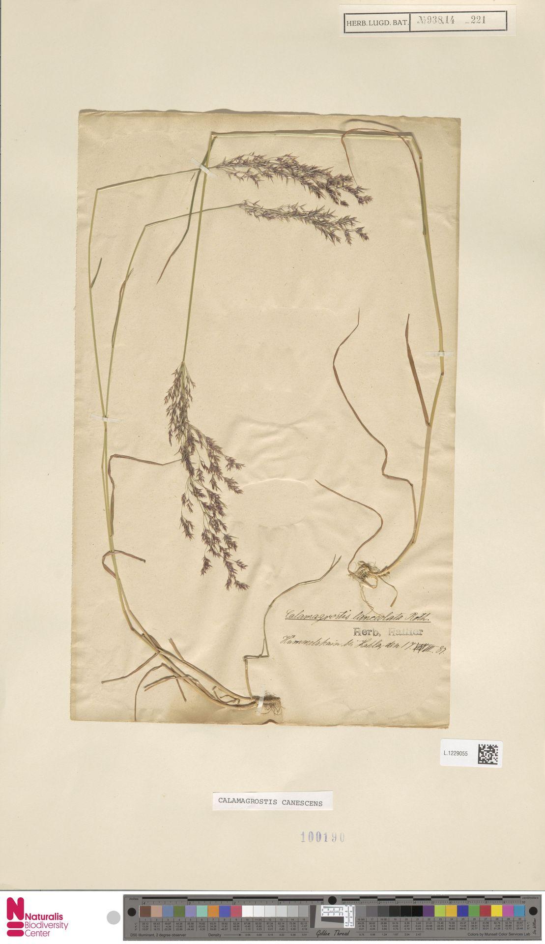 L.1229055 | Calamagrostis canescens (Weber) Roth