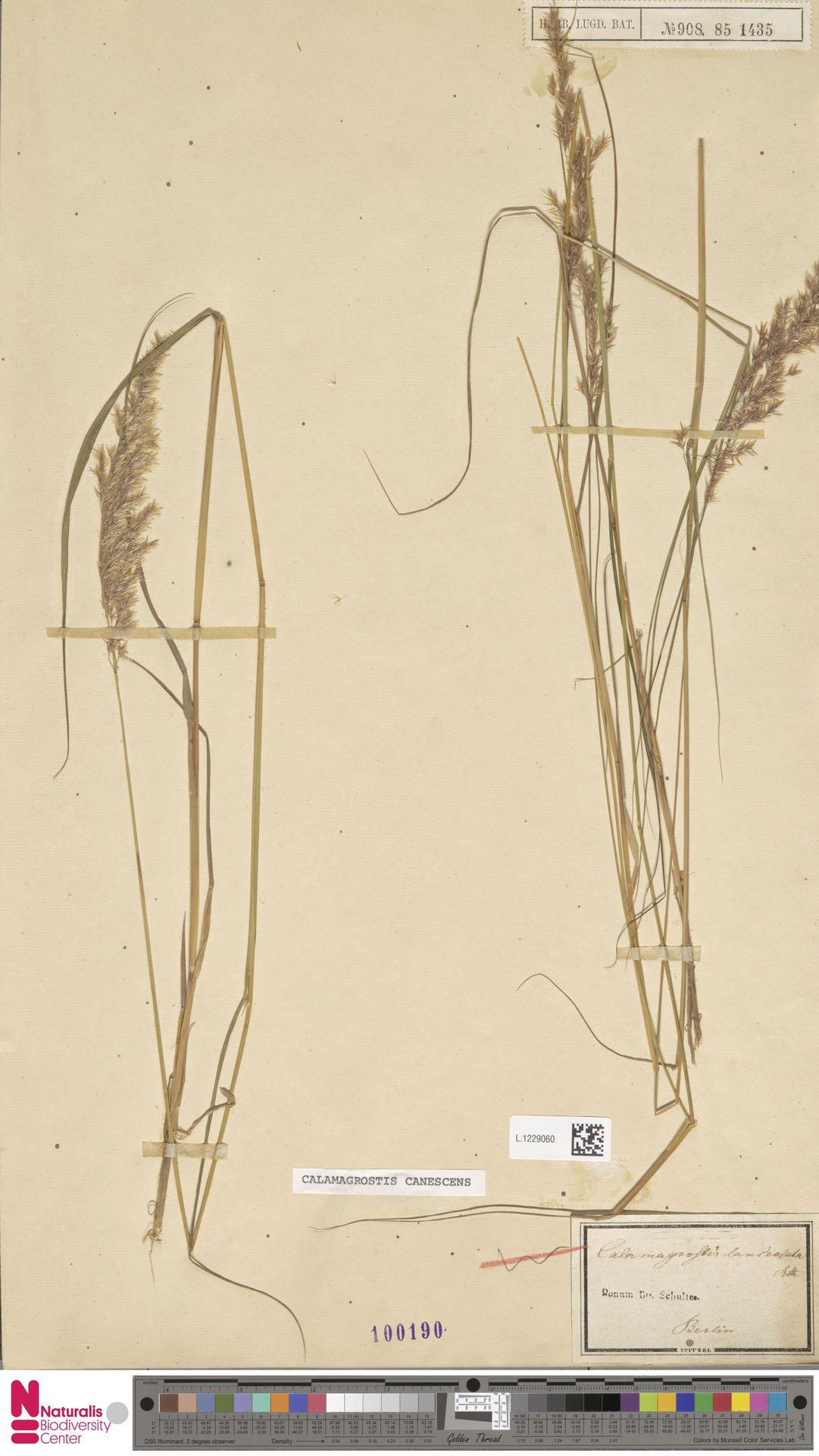 L.1229060 | Calamagrostis canescens (Weber) Roth