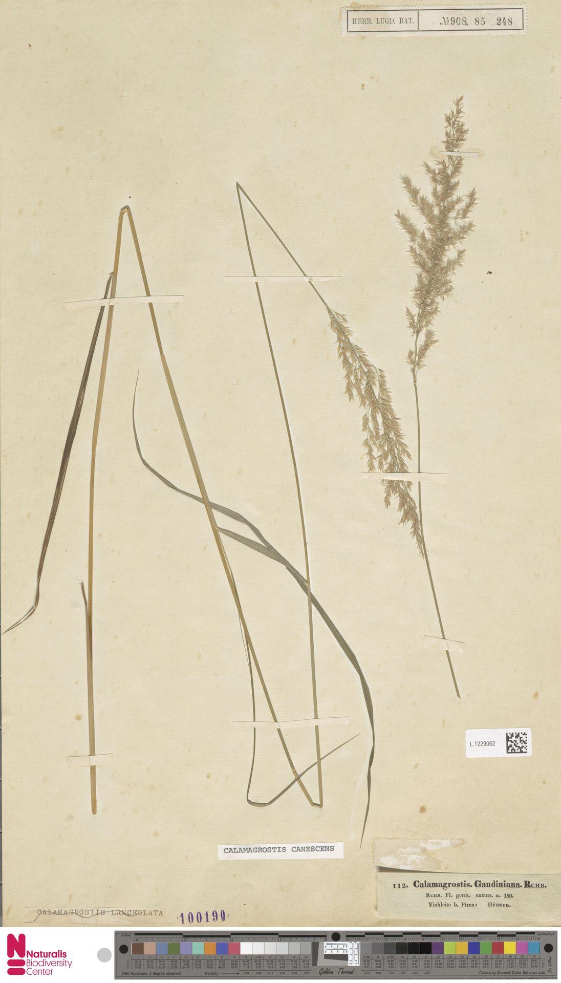L.1229062 | Calamagrostis canescens (Weber) Roth