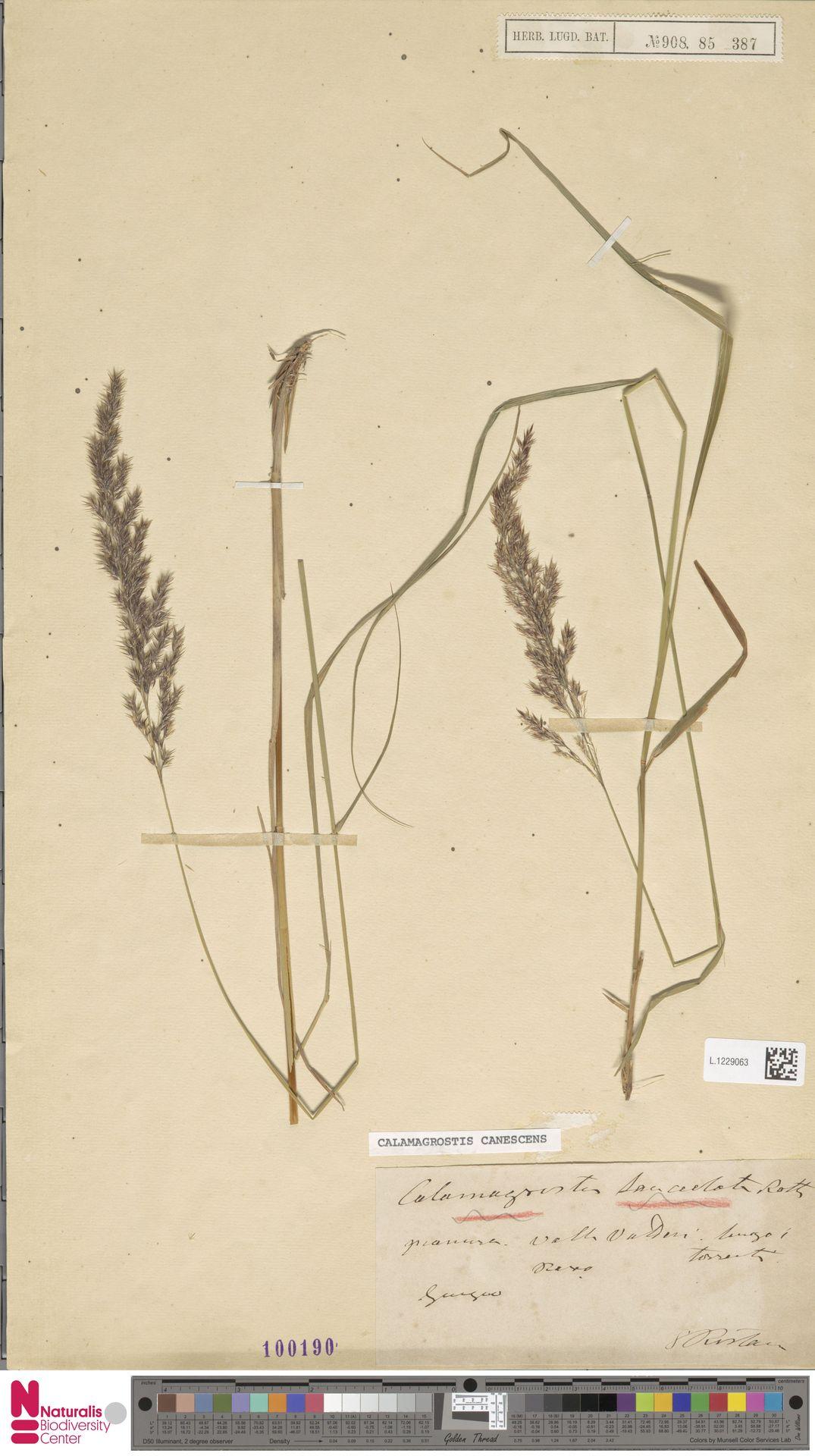 L.1229063 | Calamagrostis canescens (Weber) Roth