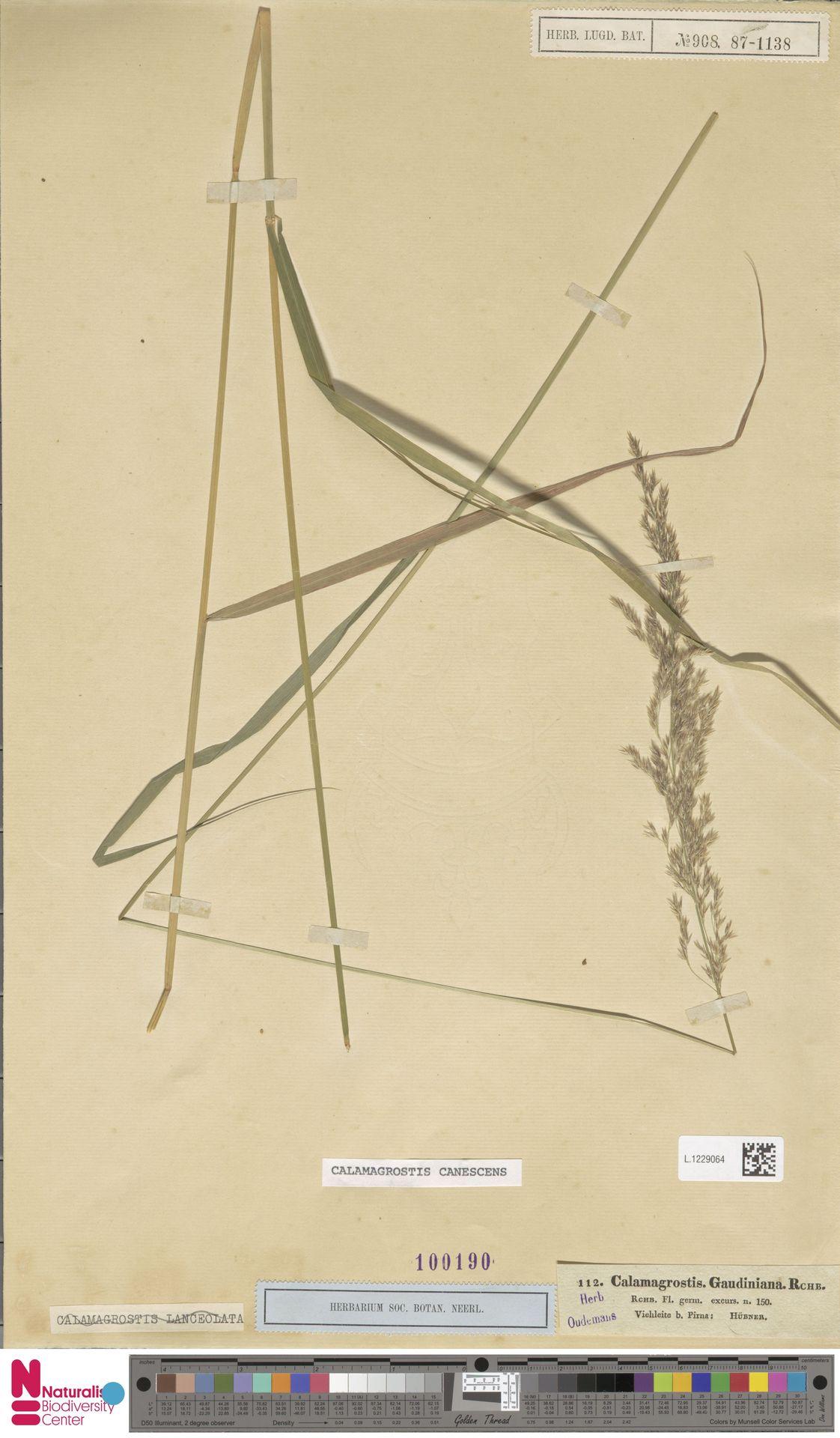 L.1229064 | Calamagrostis canescens (Weber) Roth