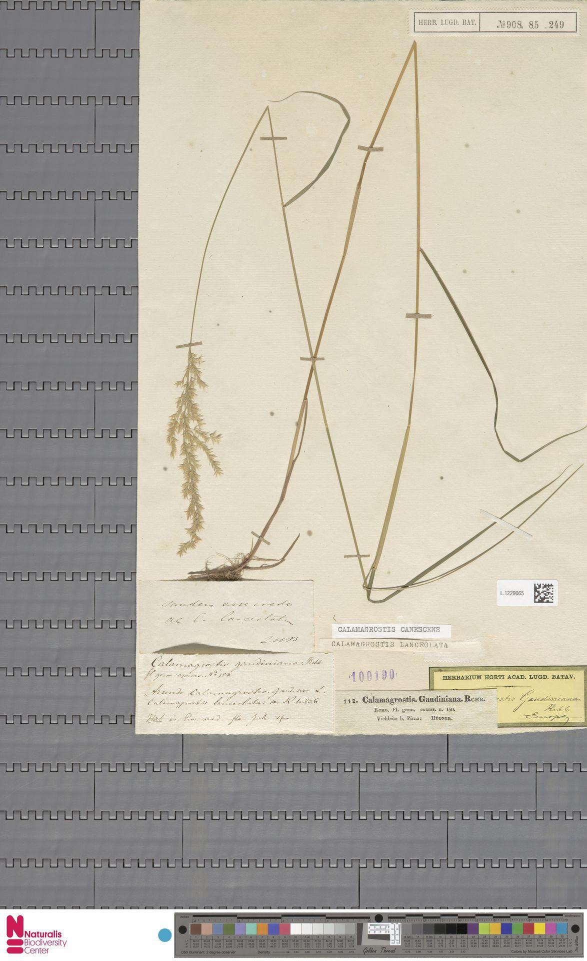 L.1229065 | Calamagrostis canescens (Weber) Roth