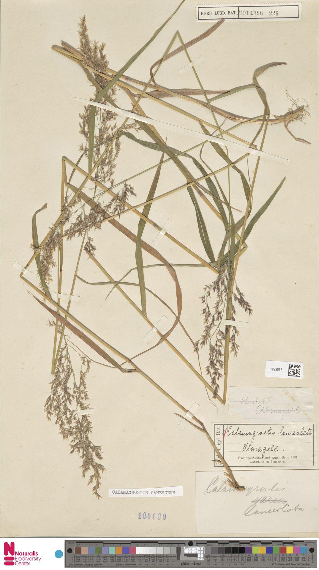 L.1229067 | Calamagrostis canescens (Weber) Roth