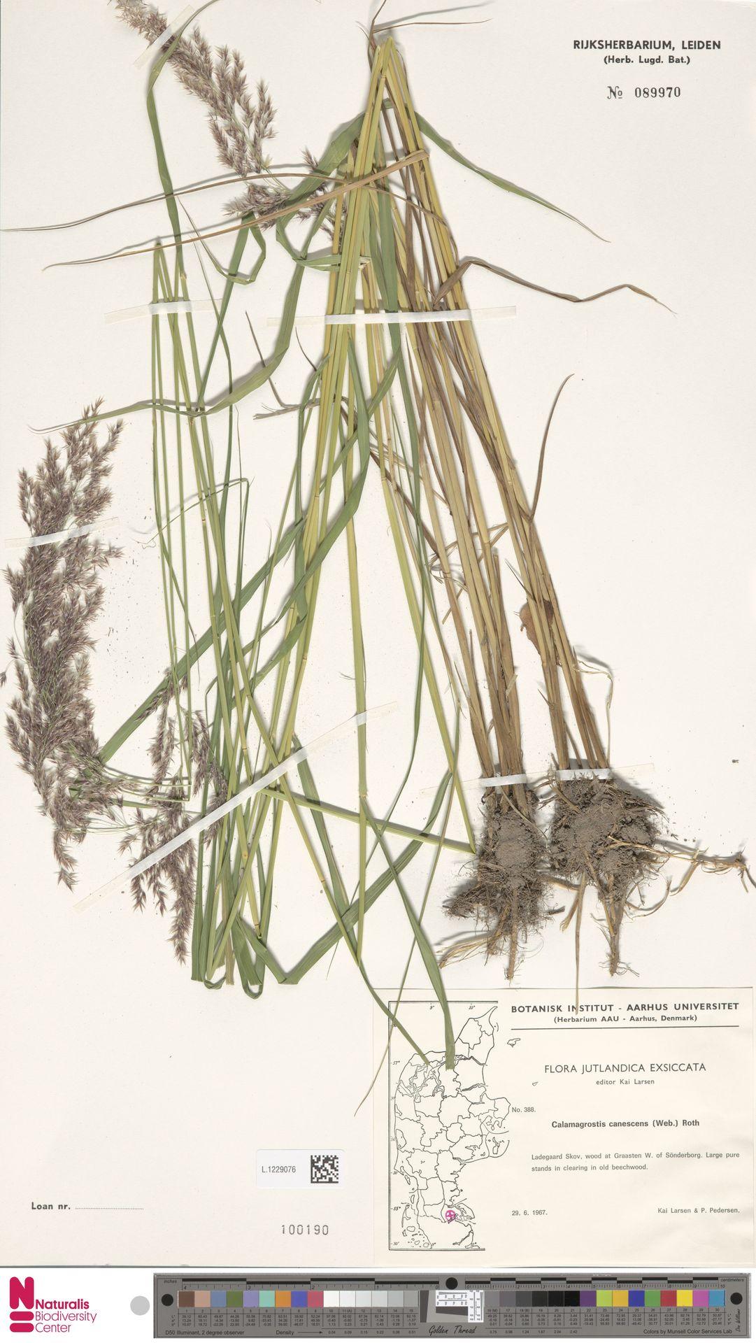 L.1229076   Calamagrostis canescens (Weber) Roth