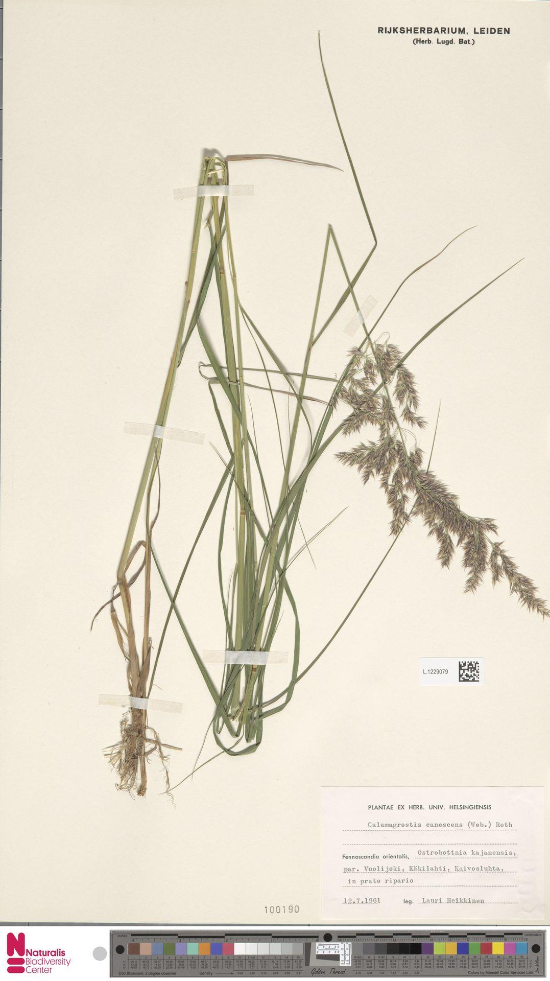 L.1229079 | Calamagrostis canescens (Weber) Roth