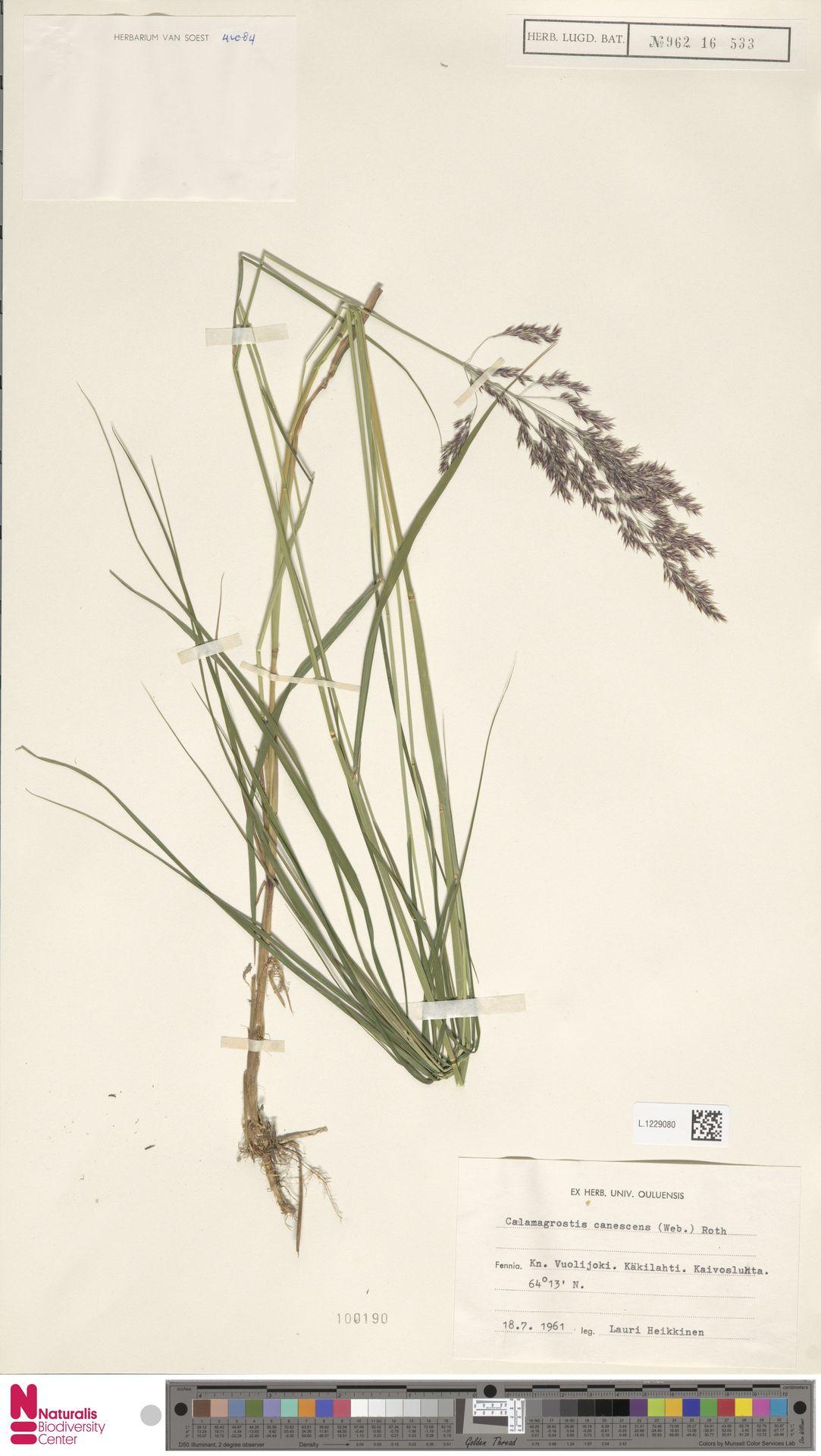 L.1229080 | Calamagrostis canescens (Weber) Roth