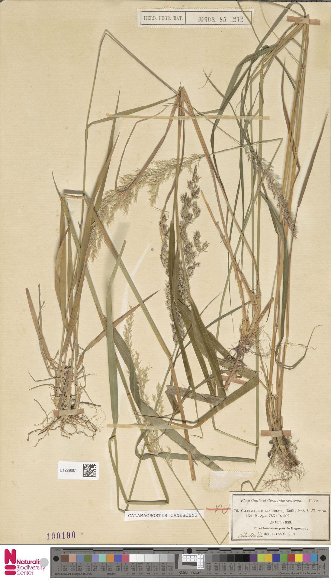 L.1229087 | Calamagrostis canescens (Weber) Roth