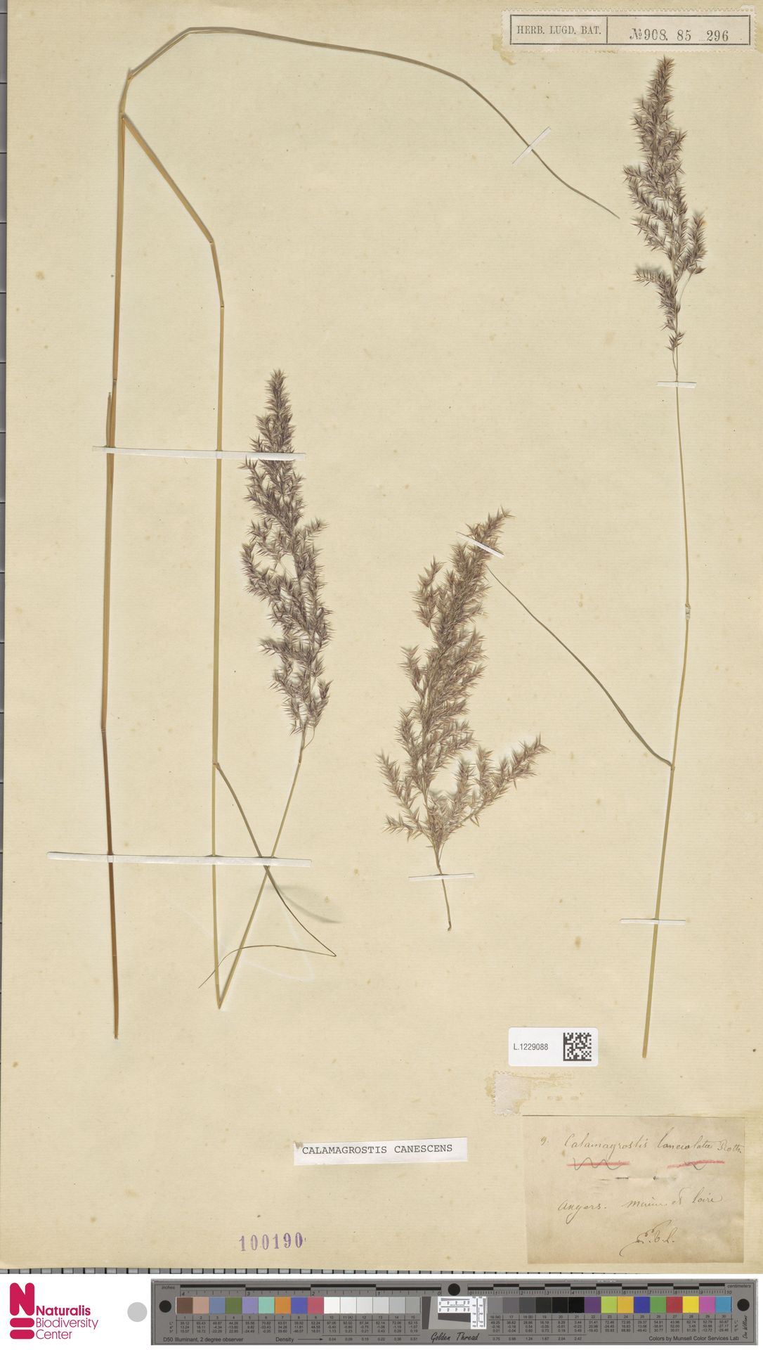 L.1229088 | Calamagrostis canescens (Weber) Roth