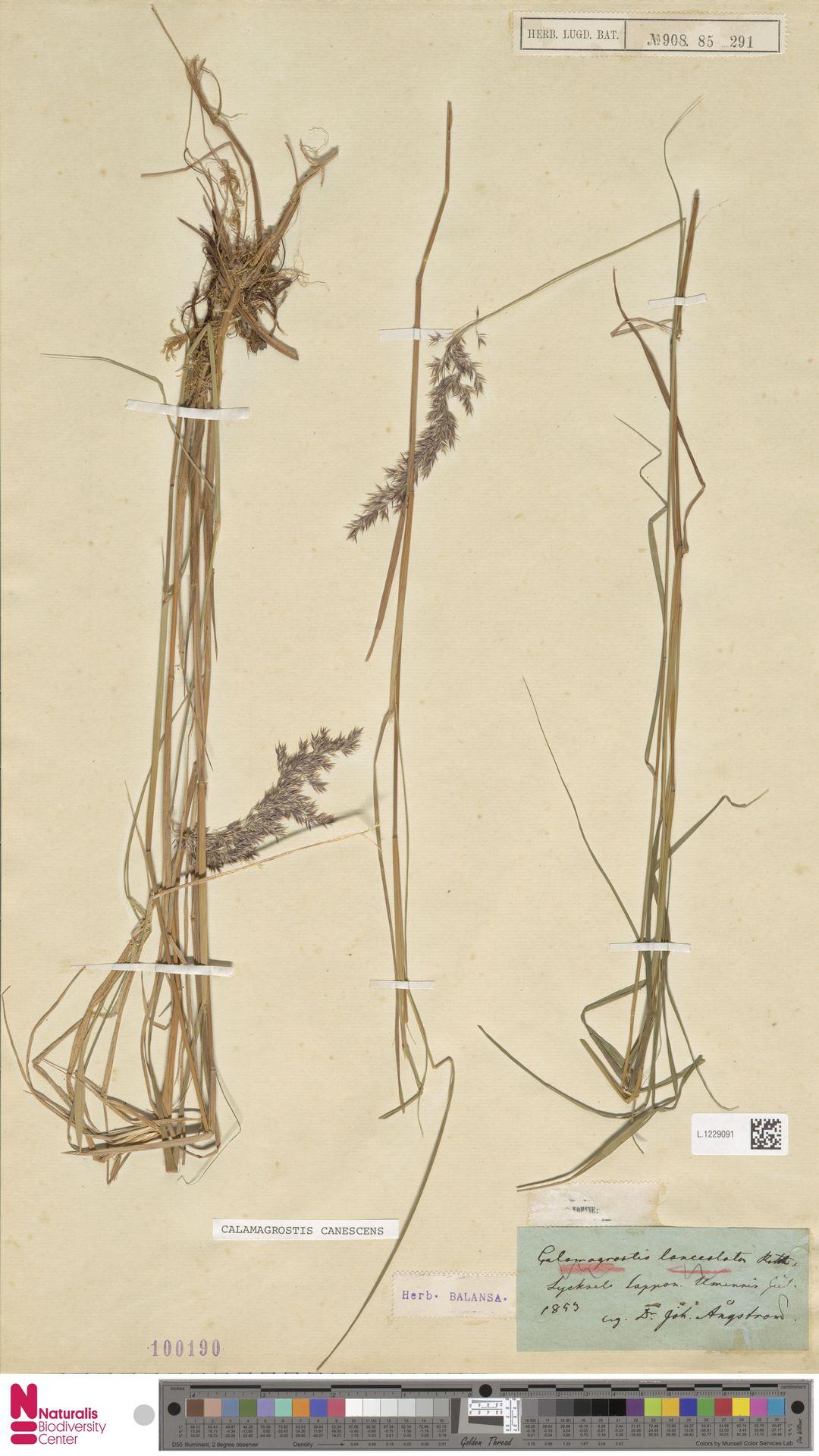 L.1229091 | Calamagrostis canescens (Weber) Roth