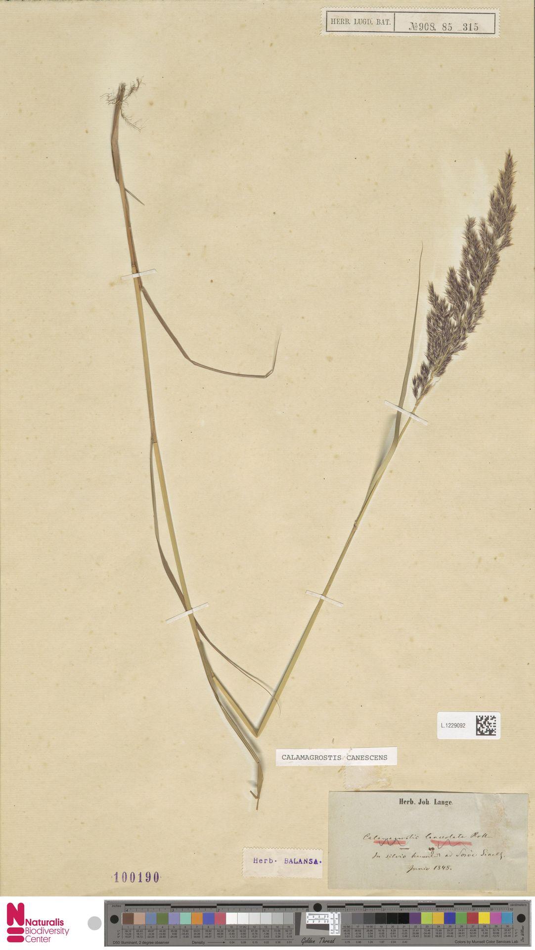 L.1229092 | Calamagrostis canescens (Weber) Roth