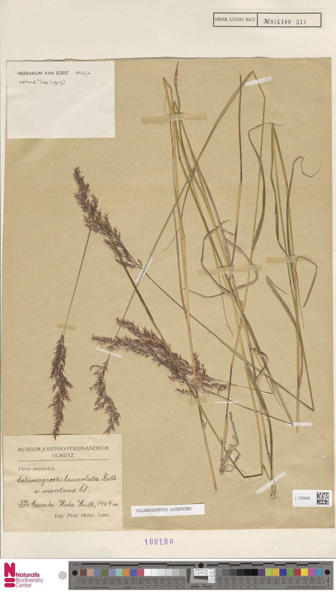 L.1229095   Calamagrostis canescens (Weber) Roth
