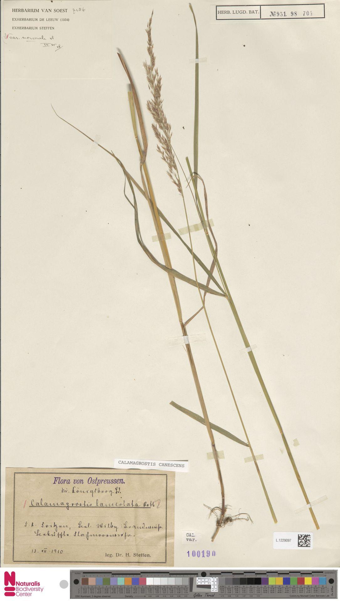 L.1229097 | Calamagrostis canescens (Weber) Roth