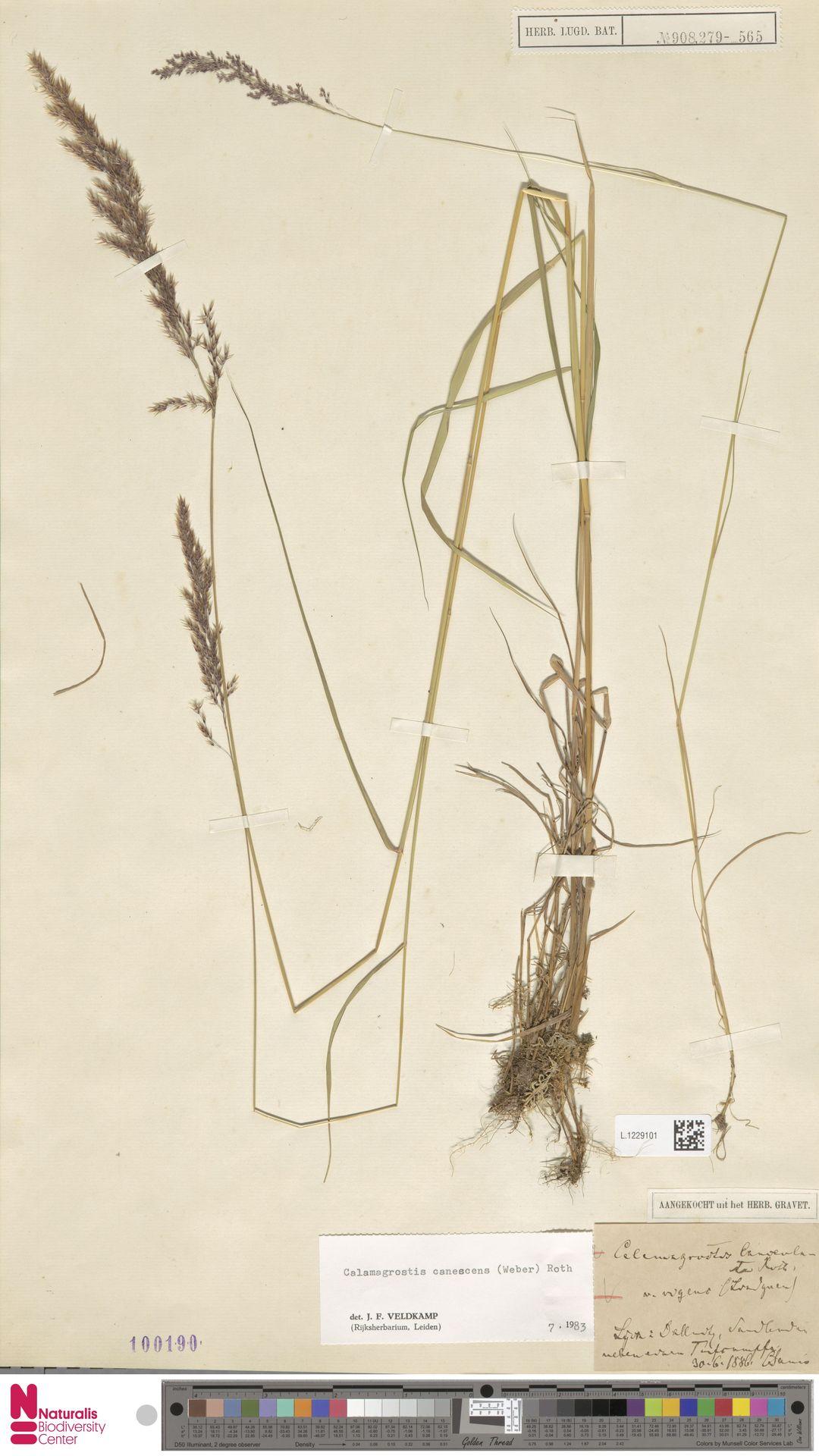 L.1229101 | Calamagrostis canescens (Weber) Roth