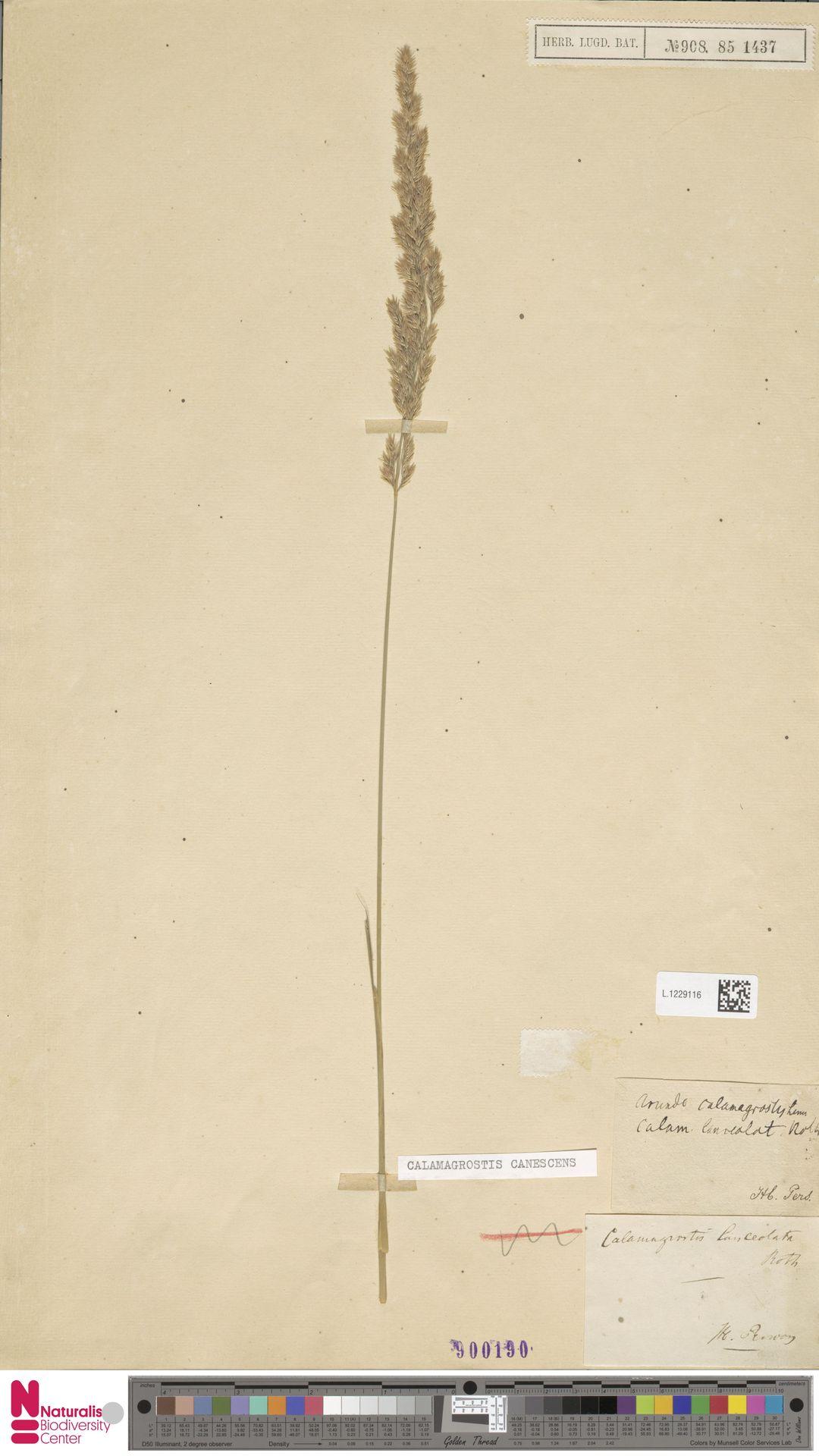 L.1229116 | Calamagrostis canescens (Weber) Roth