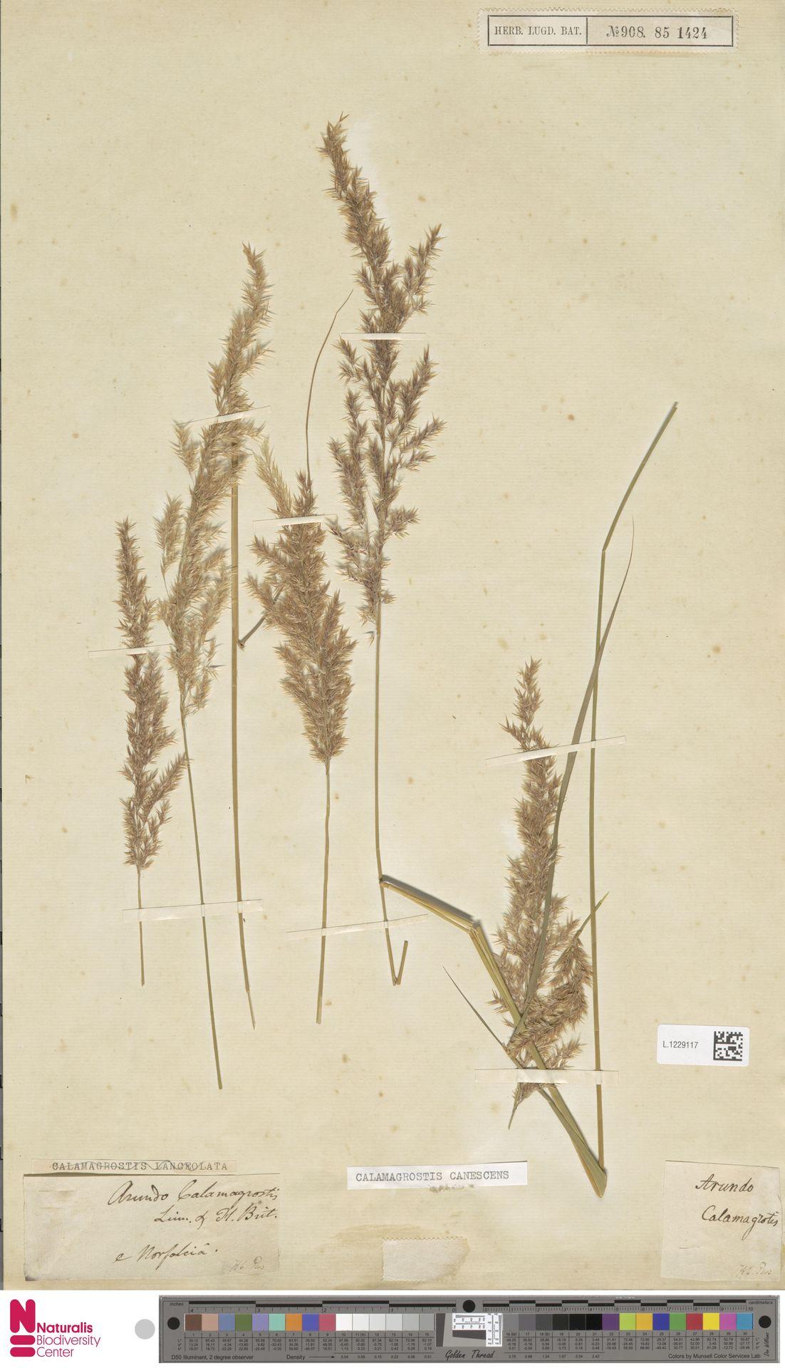 L.1229117 | Calamagrostis canescens (Weber) Roth