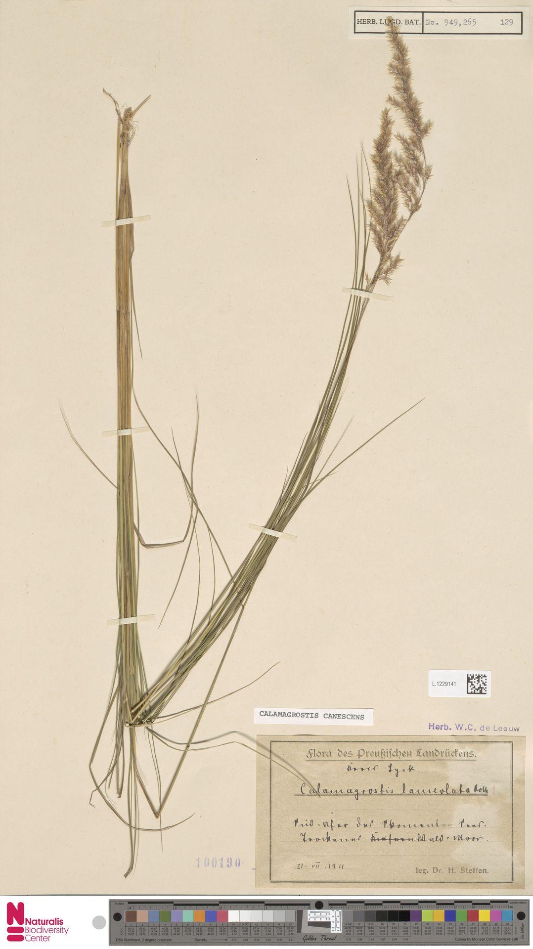 L.1229141 | Calamagrostis canescens (Weber) Roth