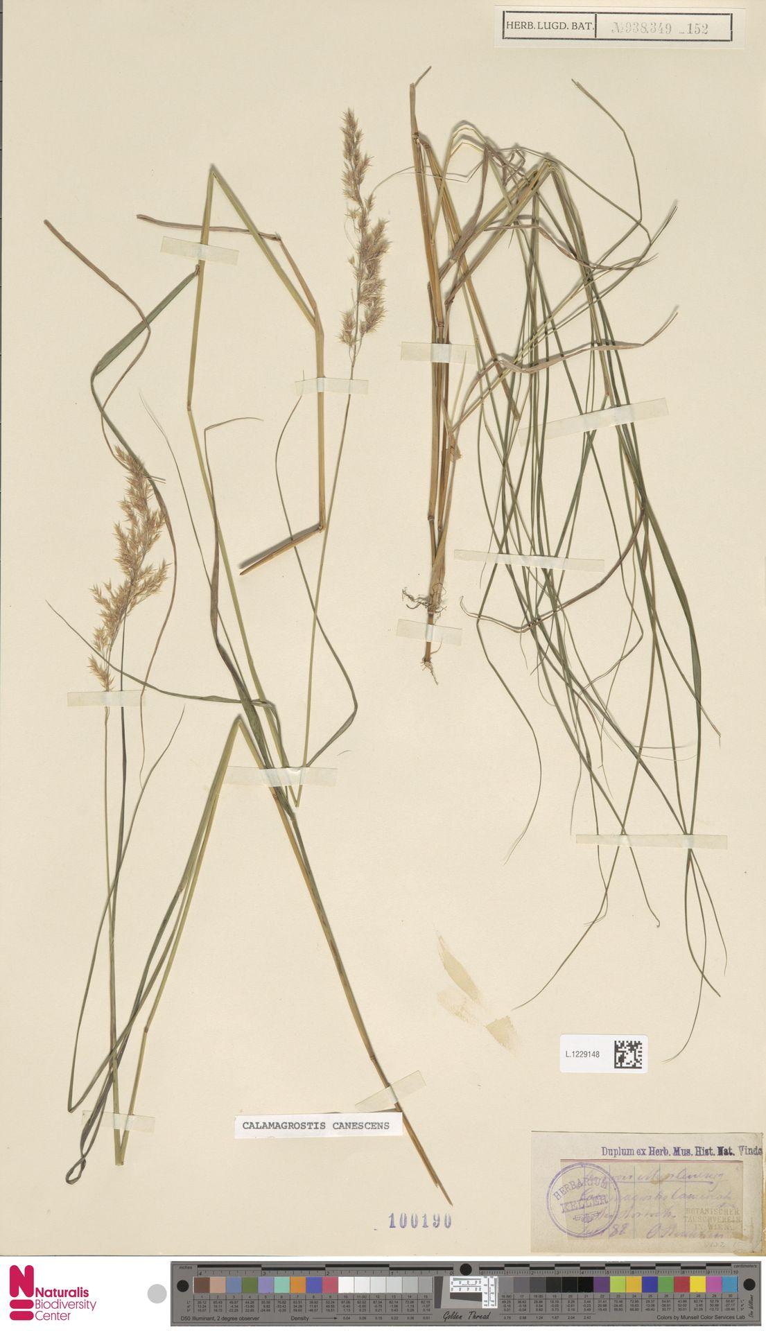 L.1229148 | Calamagrostis canescens (Weber) Roth
