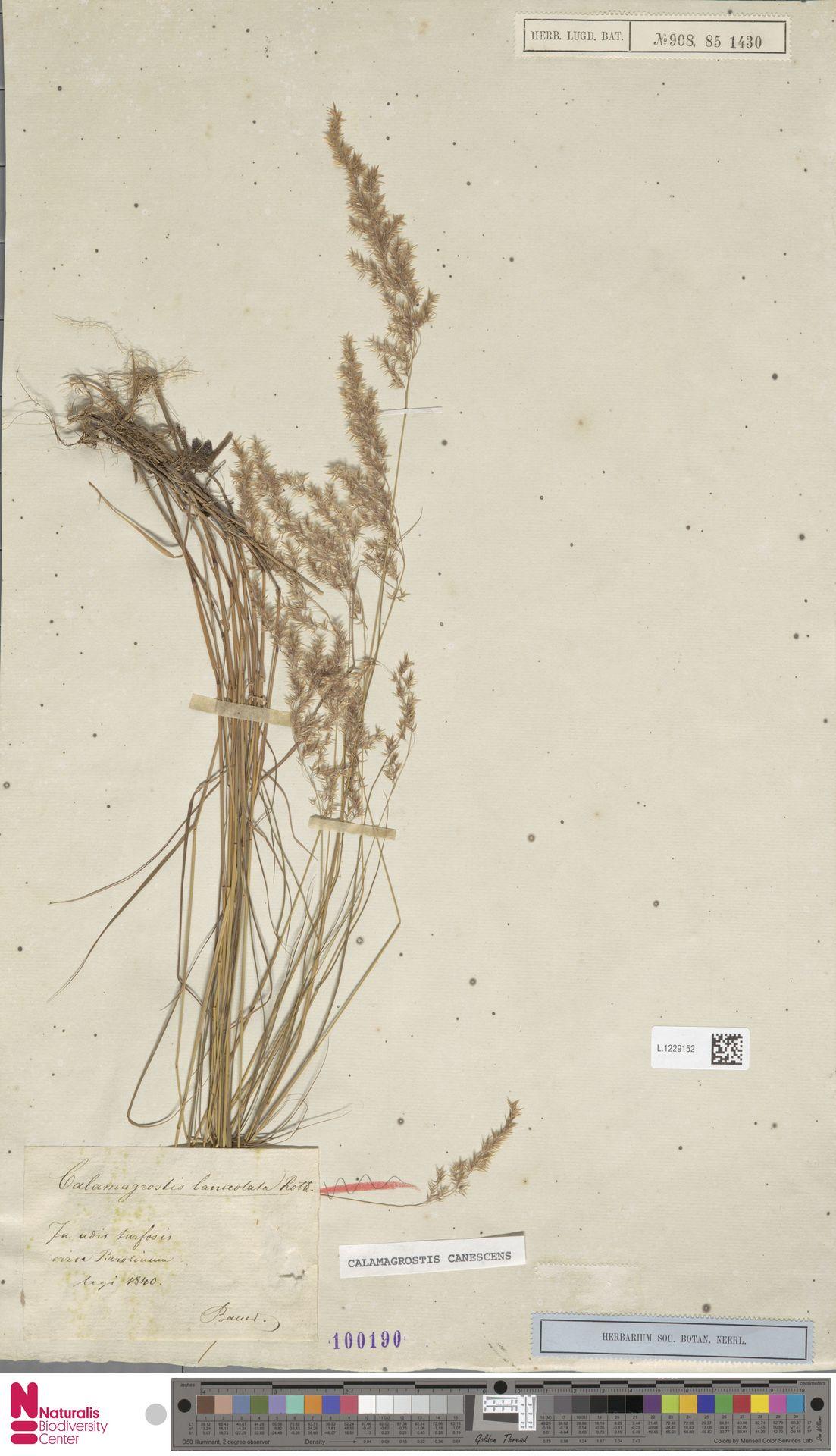 L.1229152 | Calamagrostis canescens (Weber) Roth