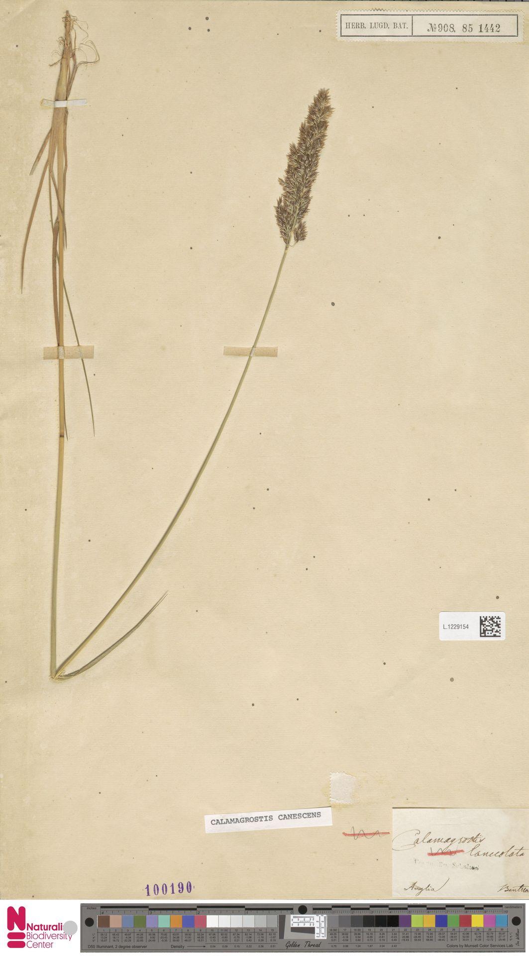 L.1229154 | Calamagrostis canescens (Weber) Roth