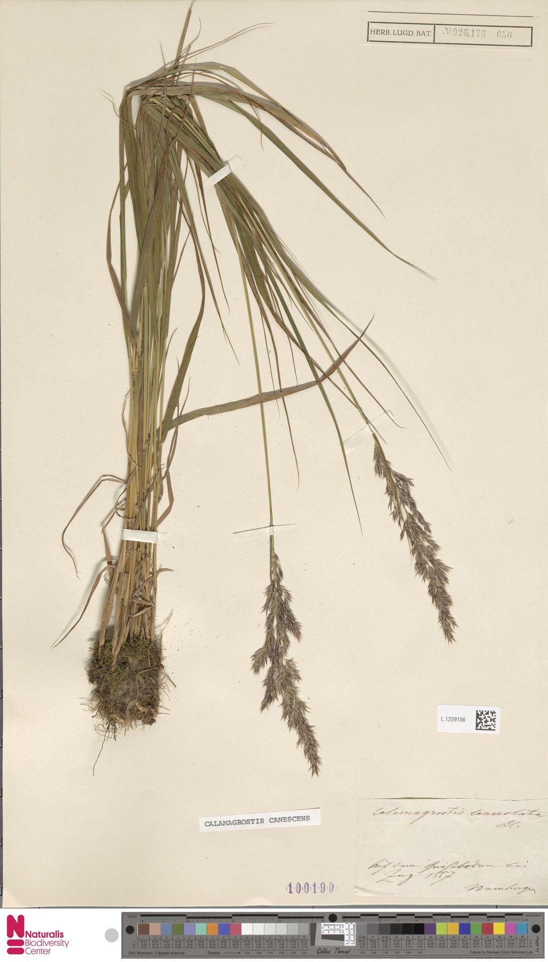 L.1229156 | Calamagrostis canescens (Weber) Roth