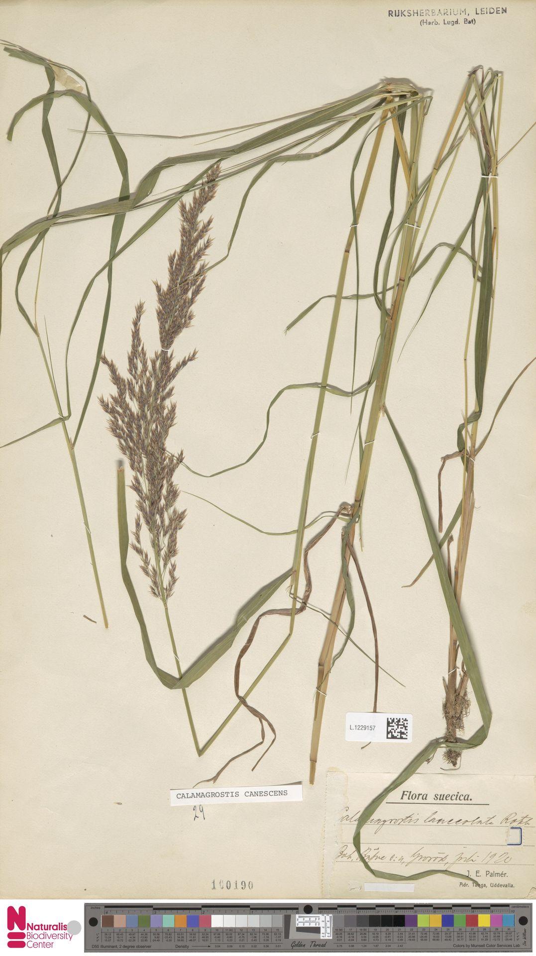 L.1229157 | Calamagrostis canescens (Weber) Roth