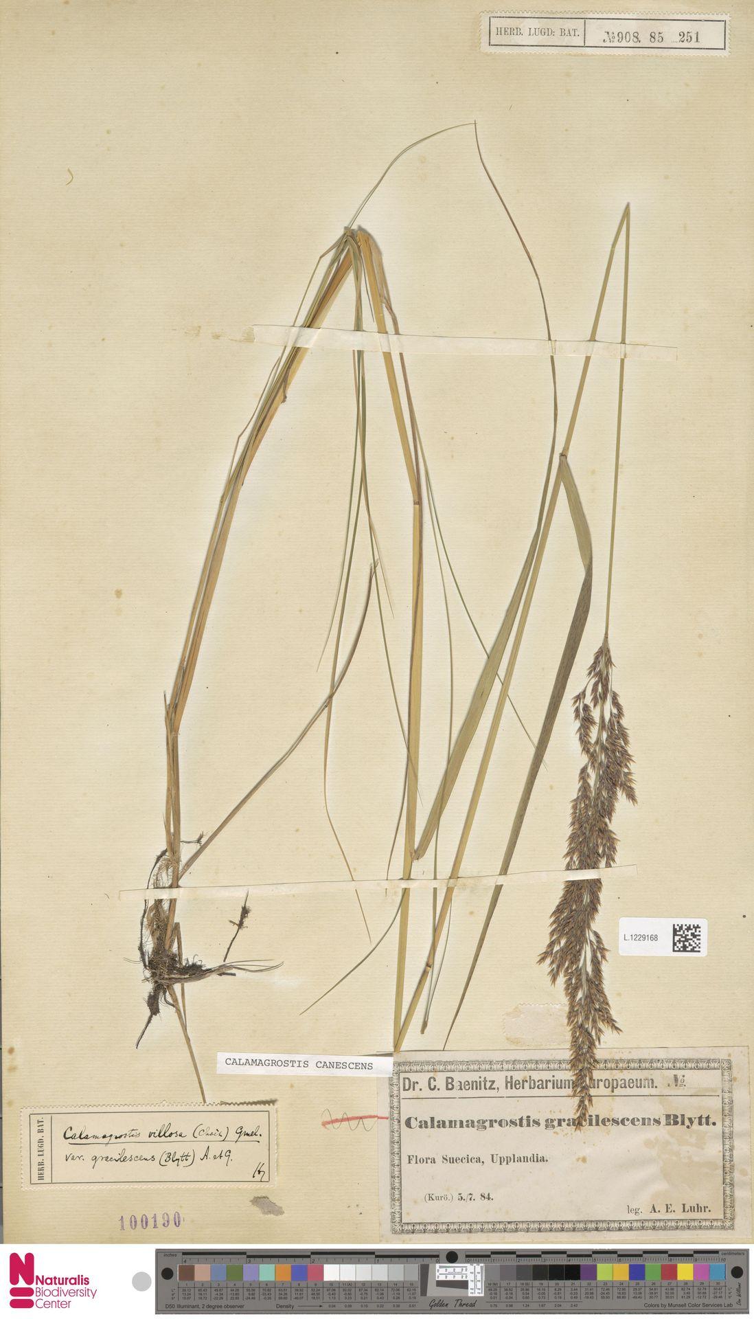 L.1229168 | Calamagrostis canescens (Weber) Roth