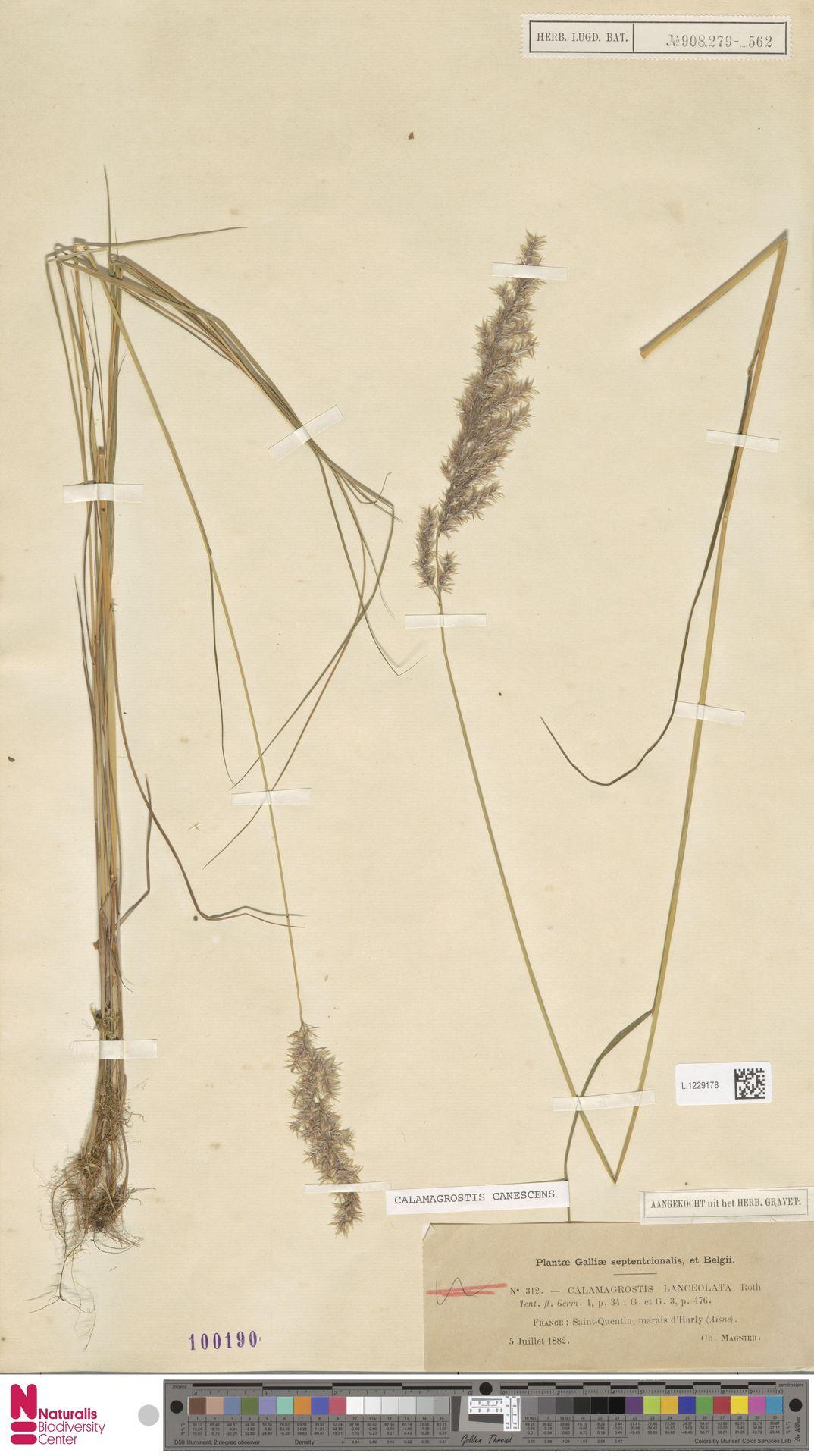 L.1229178 | Calamagrostis canescens (Weber) Roth