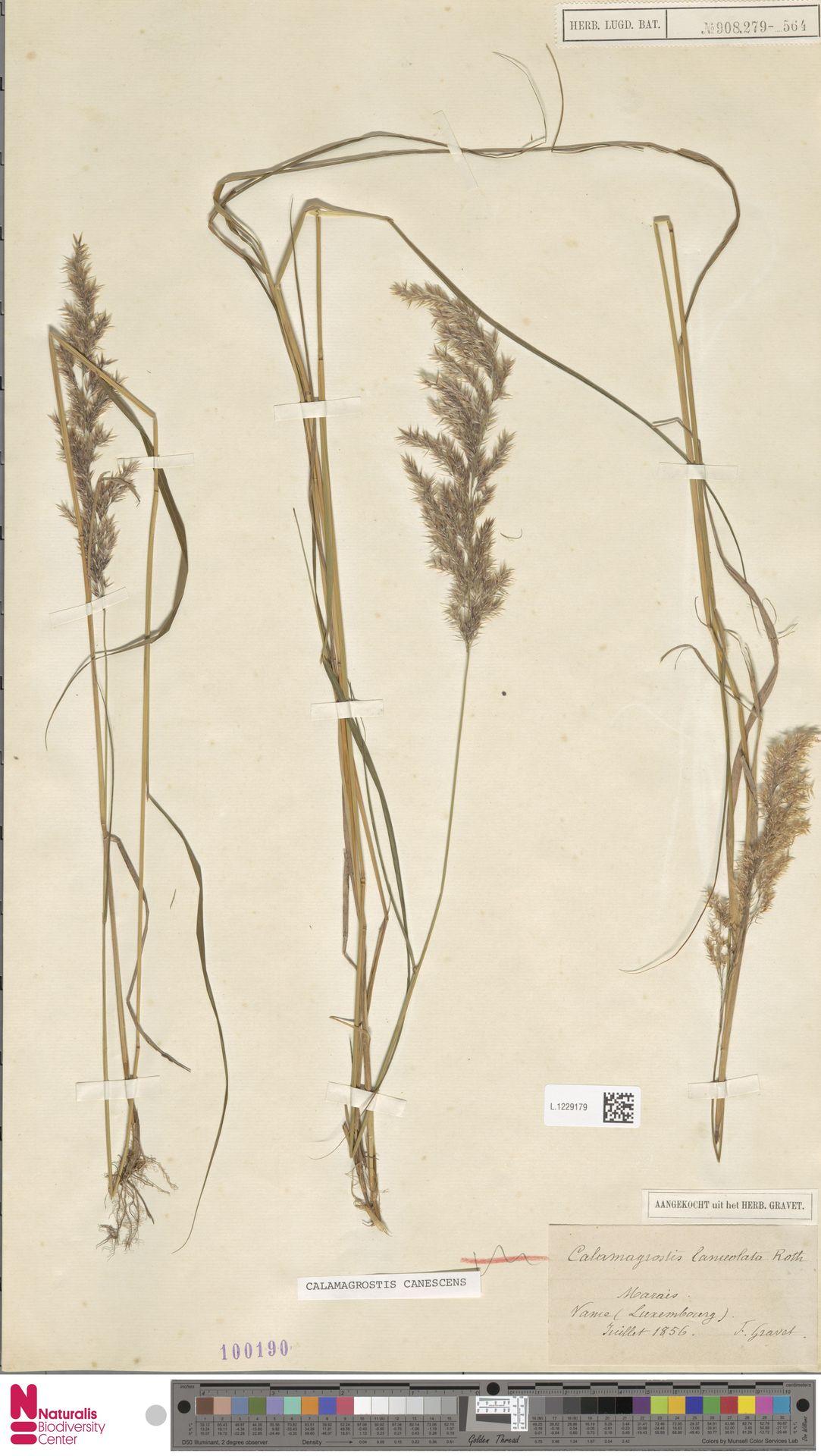L.1229179 | Calamagrostis canescens (Weber) Roth