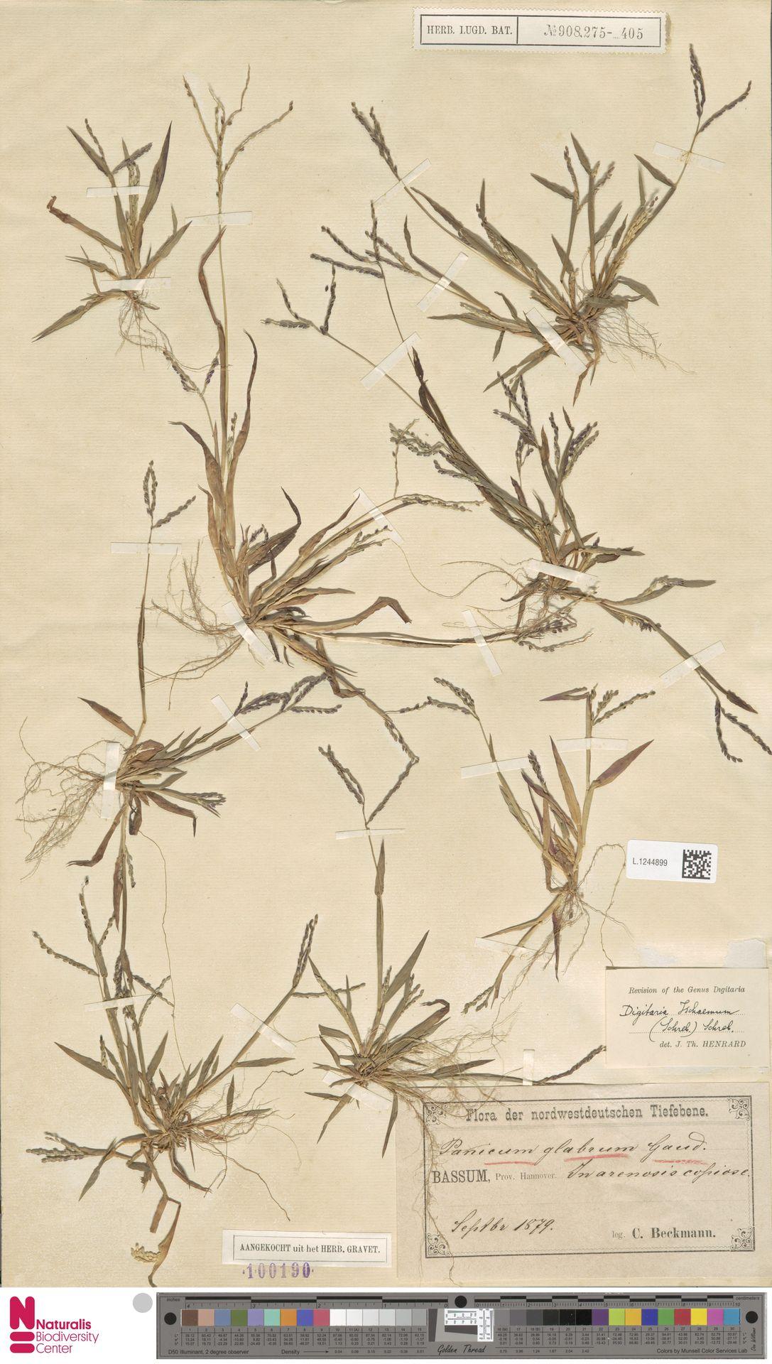 L.1244899 | Digitaria ischaemum (Schreb.) Muhl.