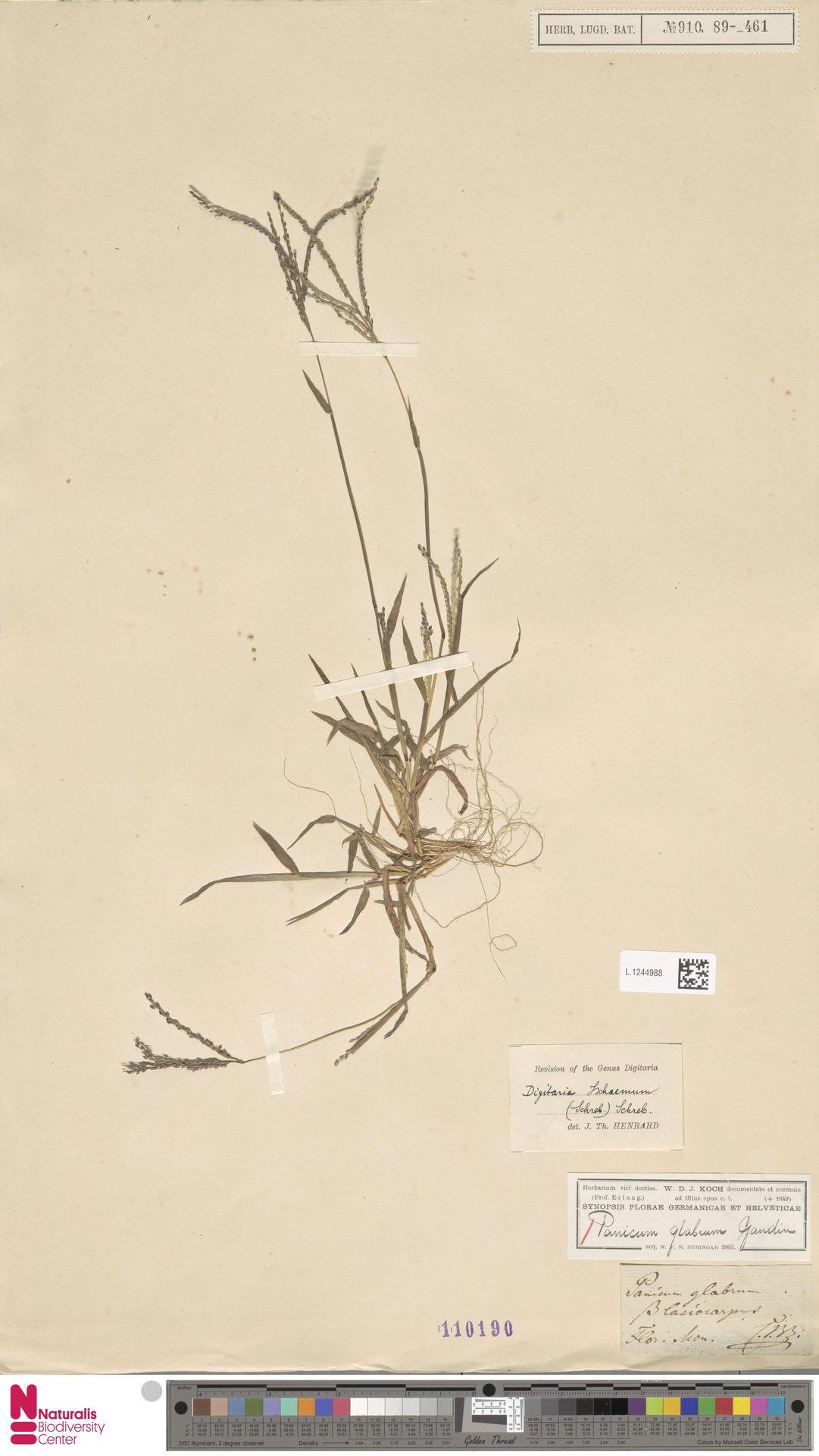 L.1244988   Digitaria ischaemum (Schreb.) Muhl.
