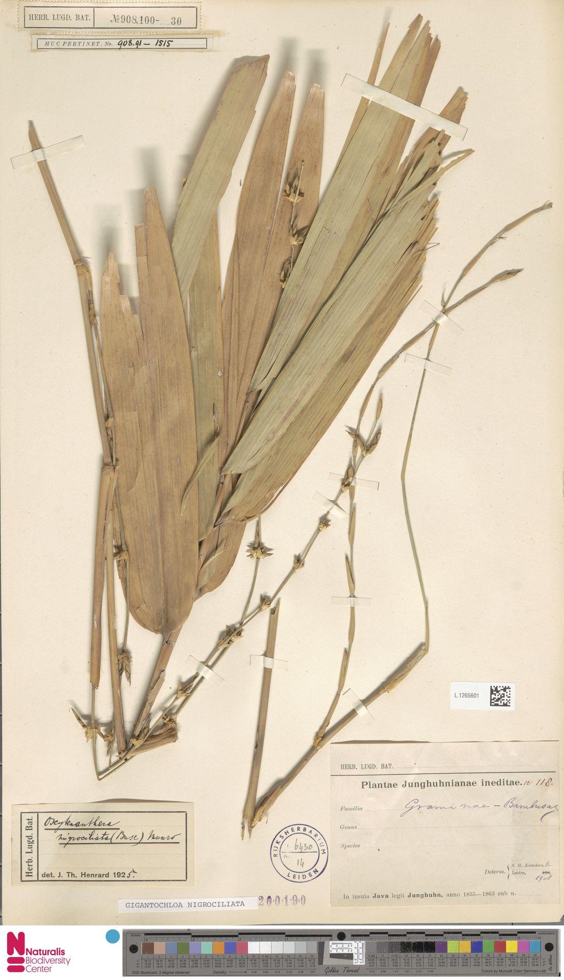 L.1265601 | Gigantochloa nigrociliata Kurz