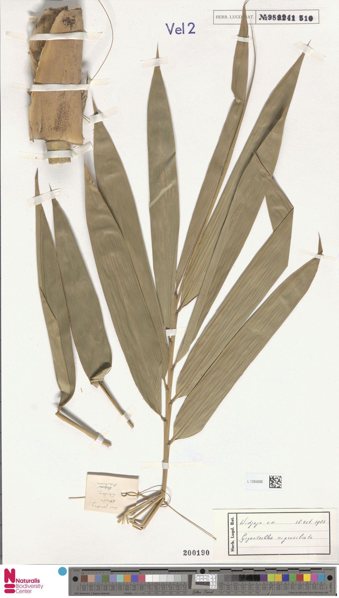 L.1265606 | Gigantochloa nigrociliata Kurz
