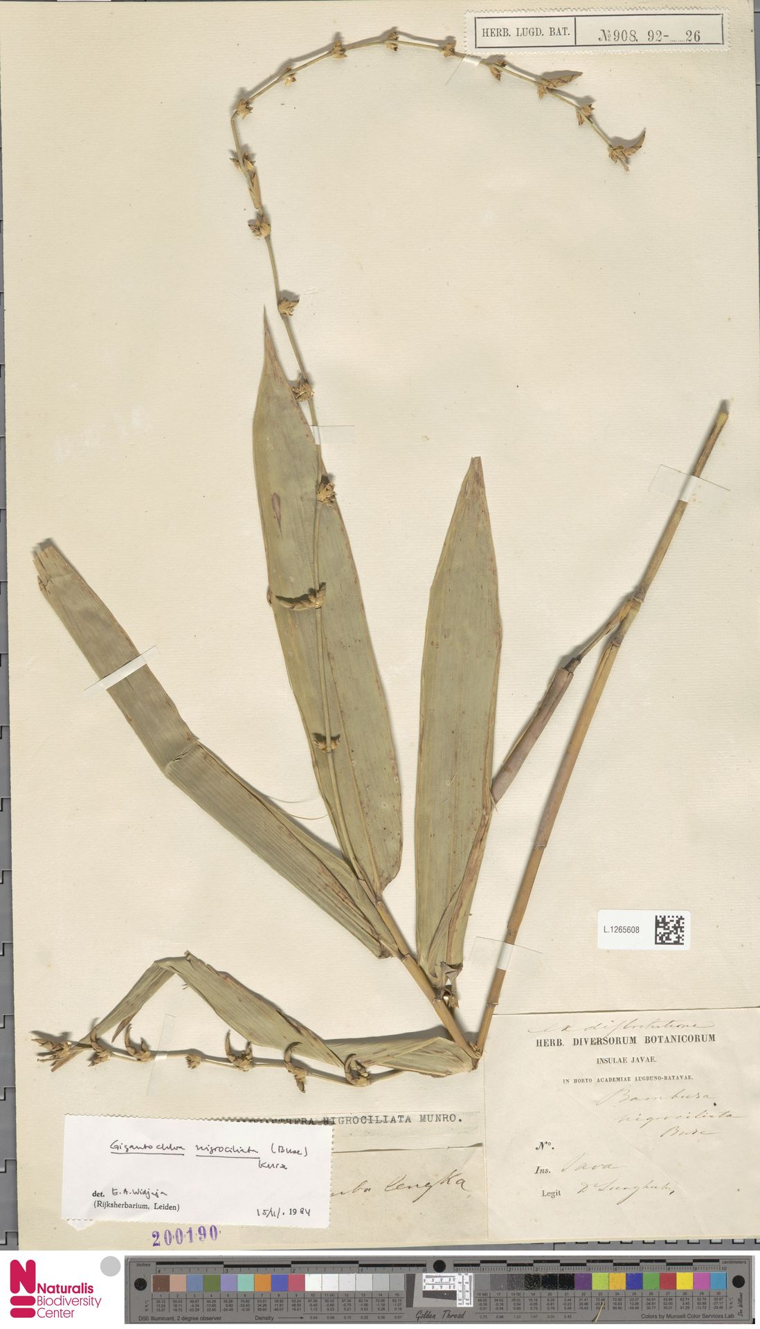 L.1265608 | Gigantochloa nigrociliata Kurz