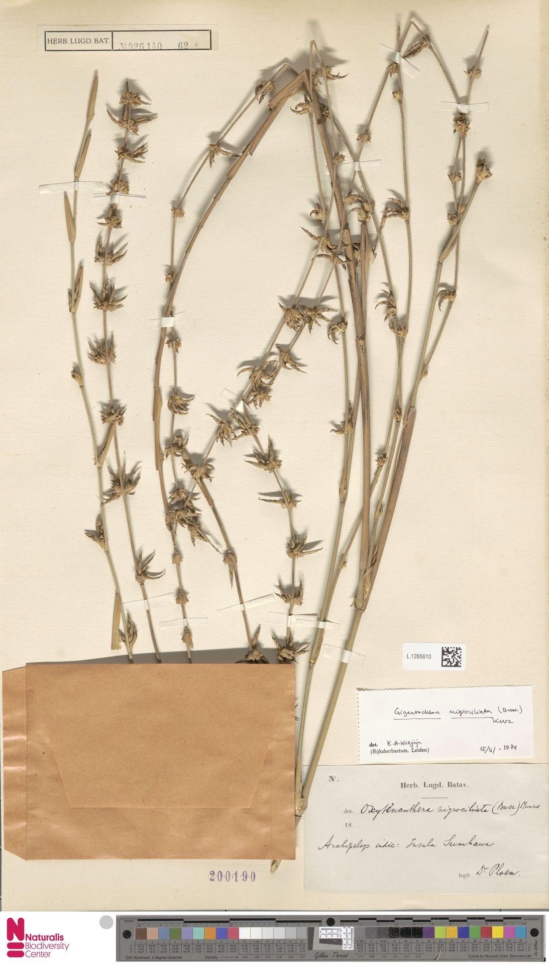 L.1265610 | Gigantochloa nigrociliata Kurz
