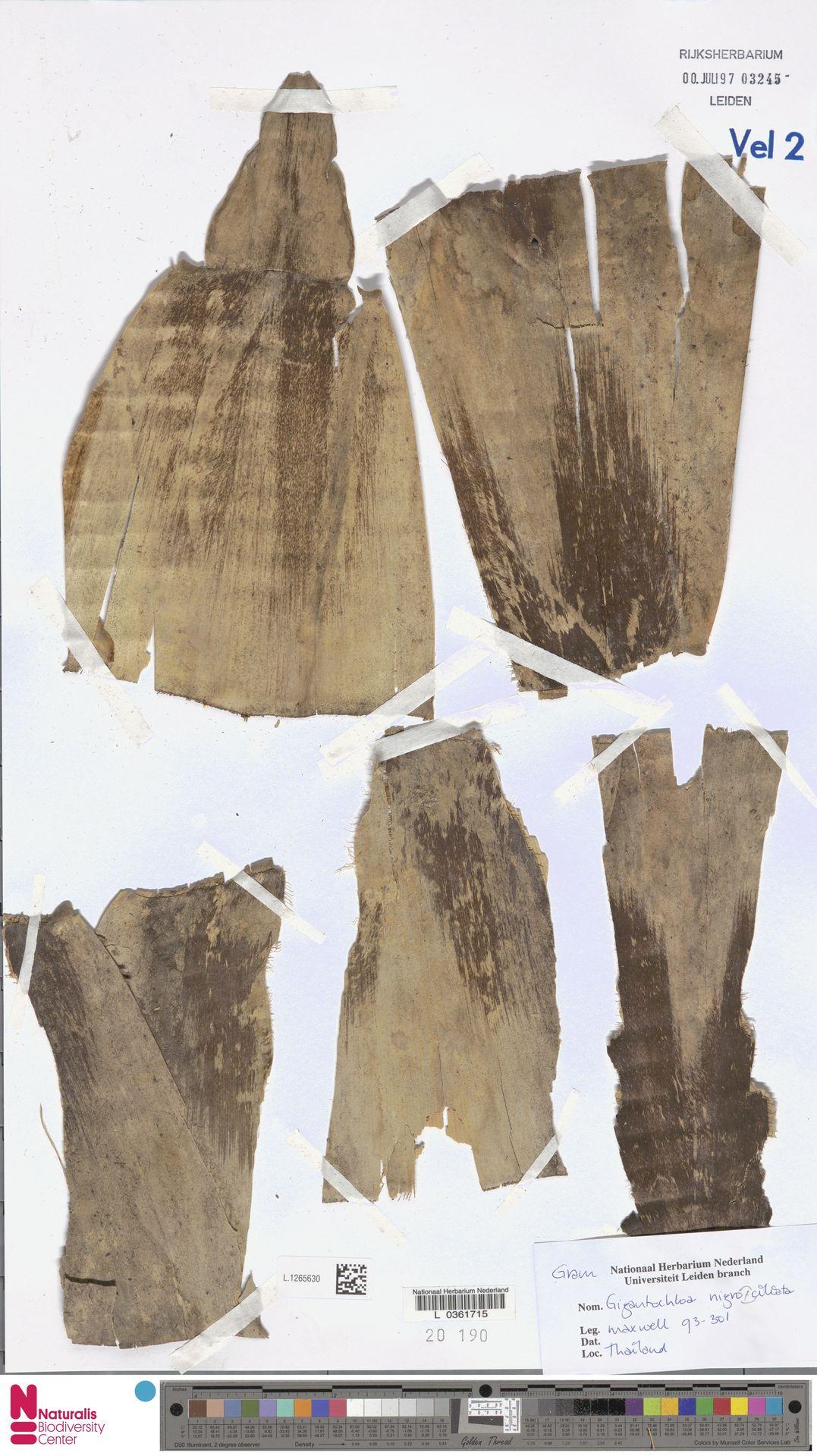 L.1265630 | Gigantochloa nigrociliata Kurz