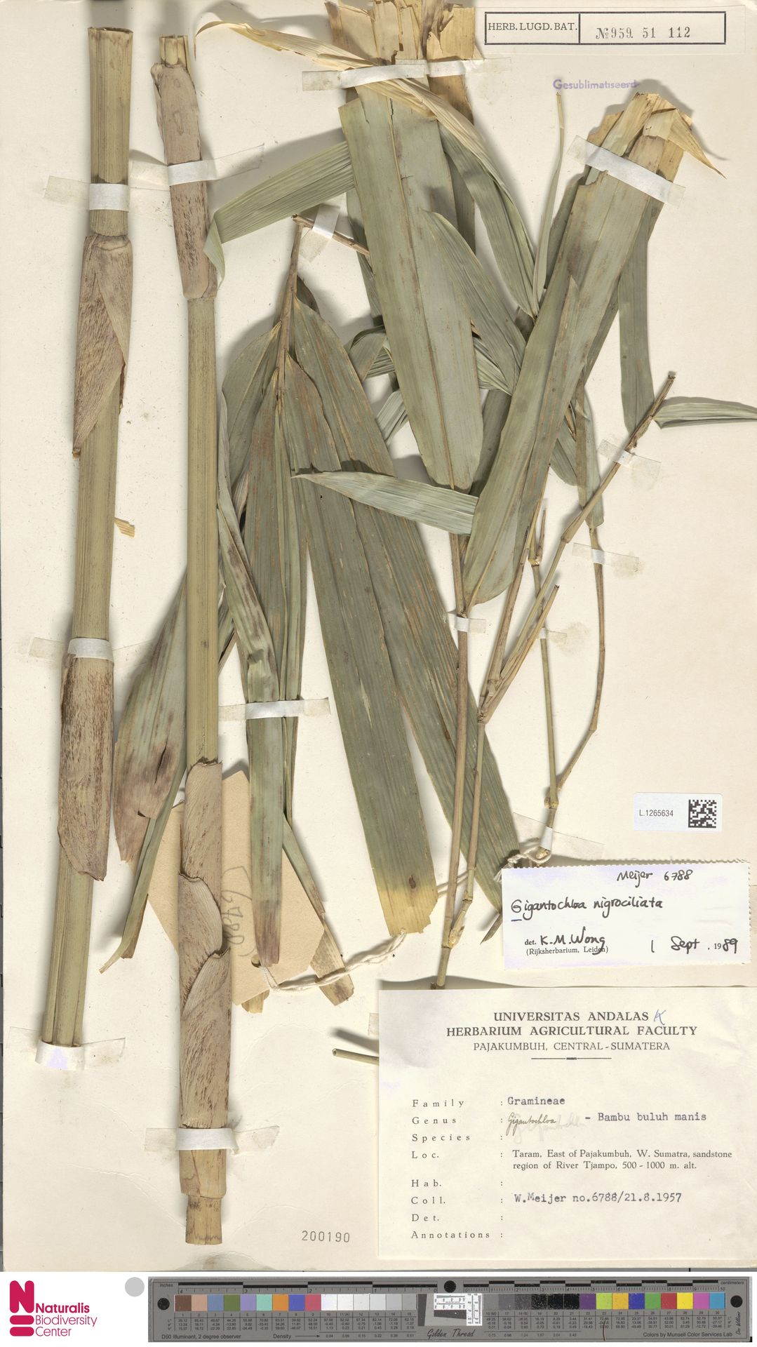 L.1265634 | Gigantochloa nigrociliata Kurz