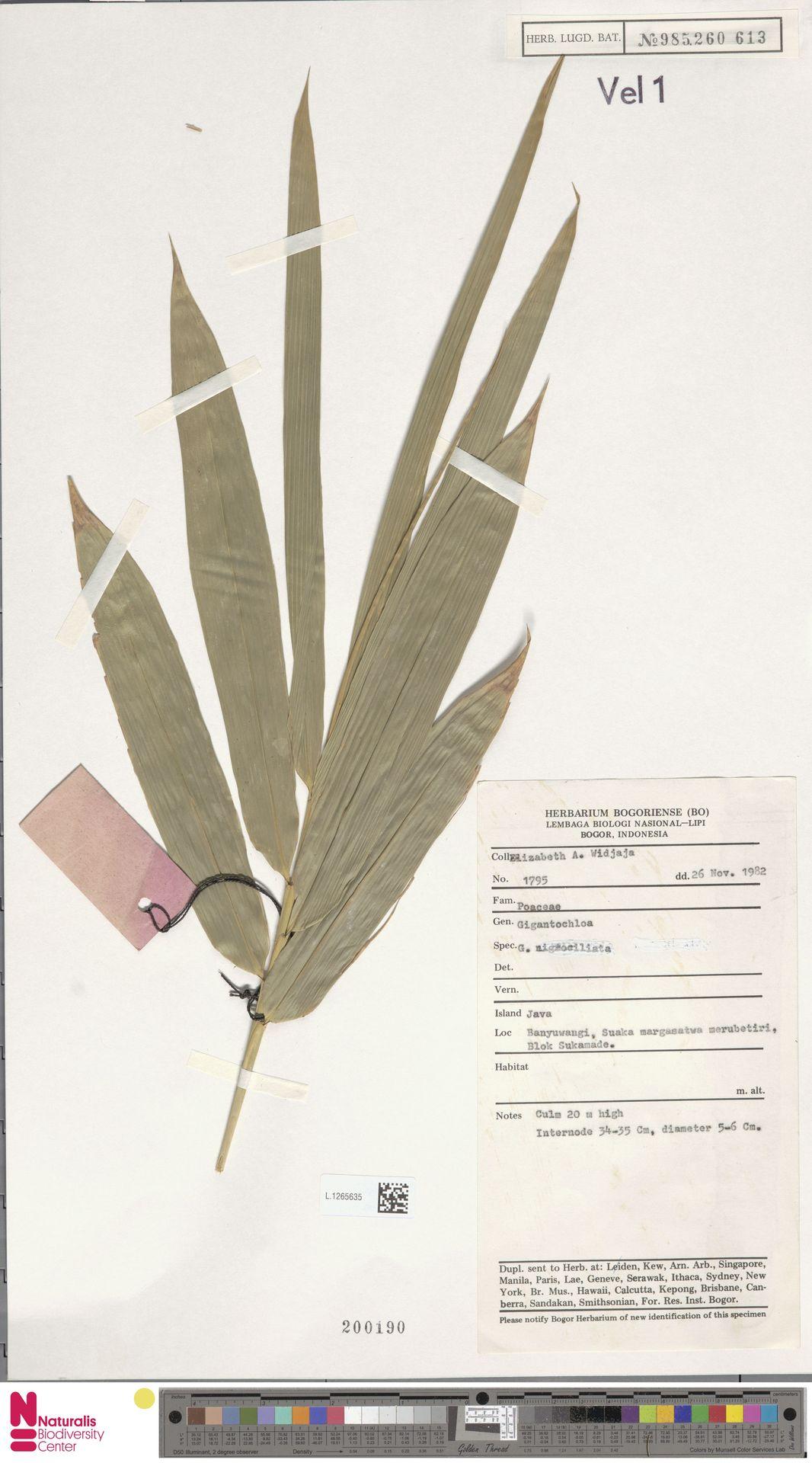 L.1265635 | Gigantochloa nigrociliata Kurz