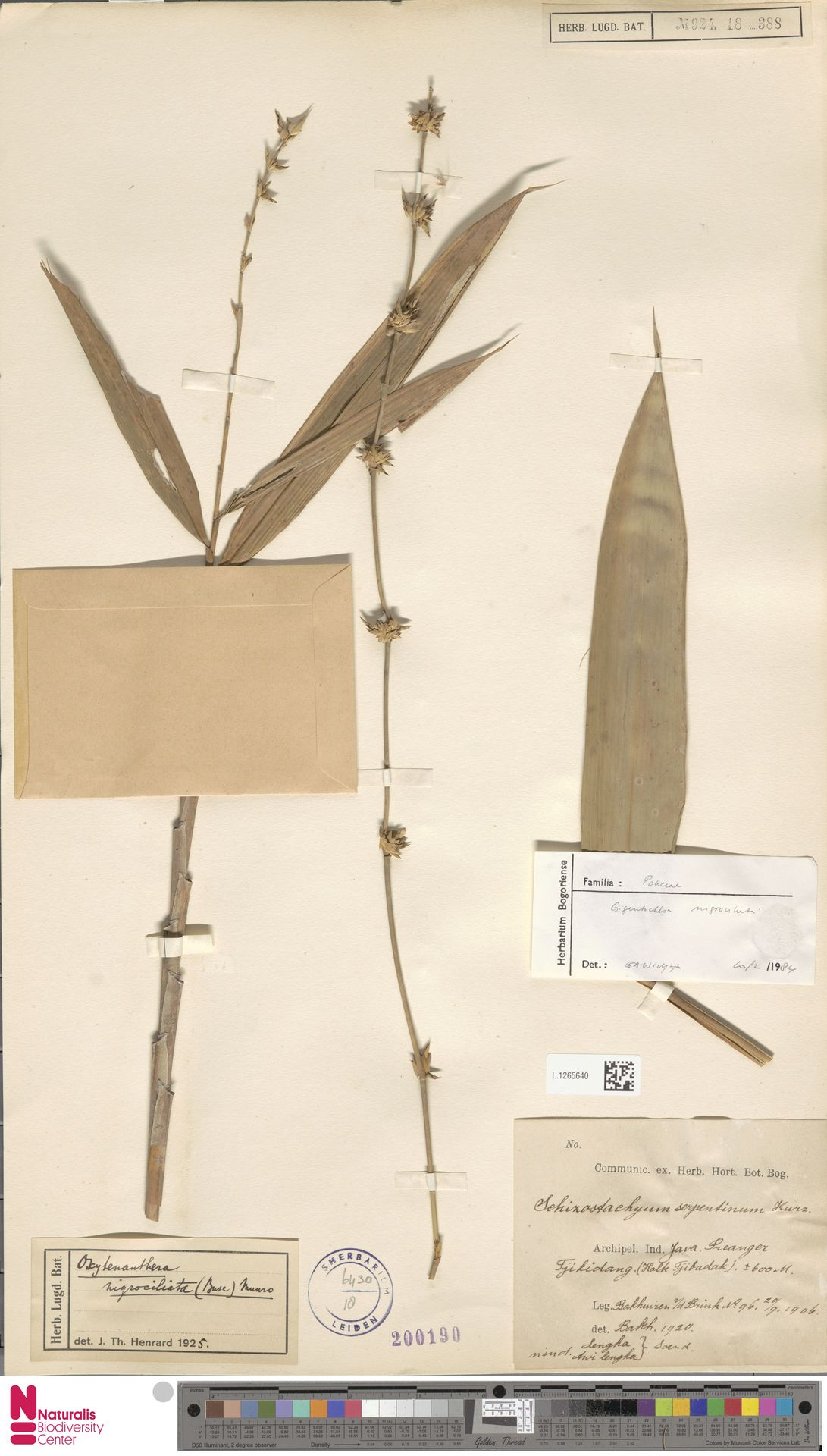 L.1265640 | Gigantochloa nigrociliata Kurz