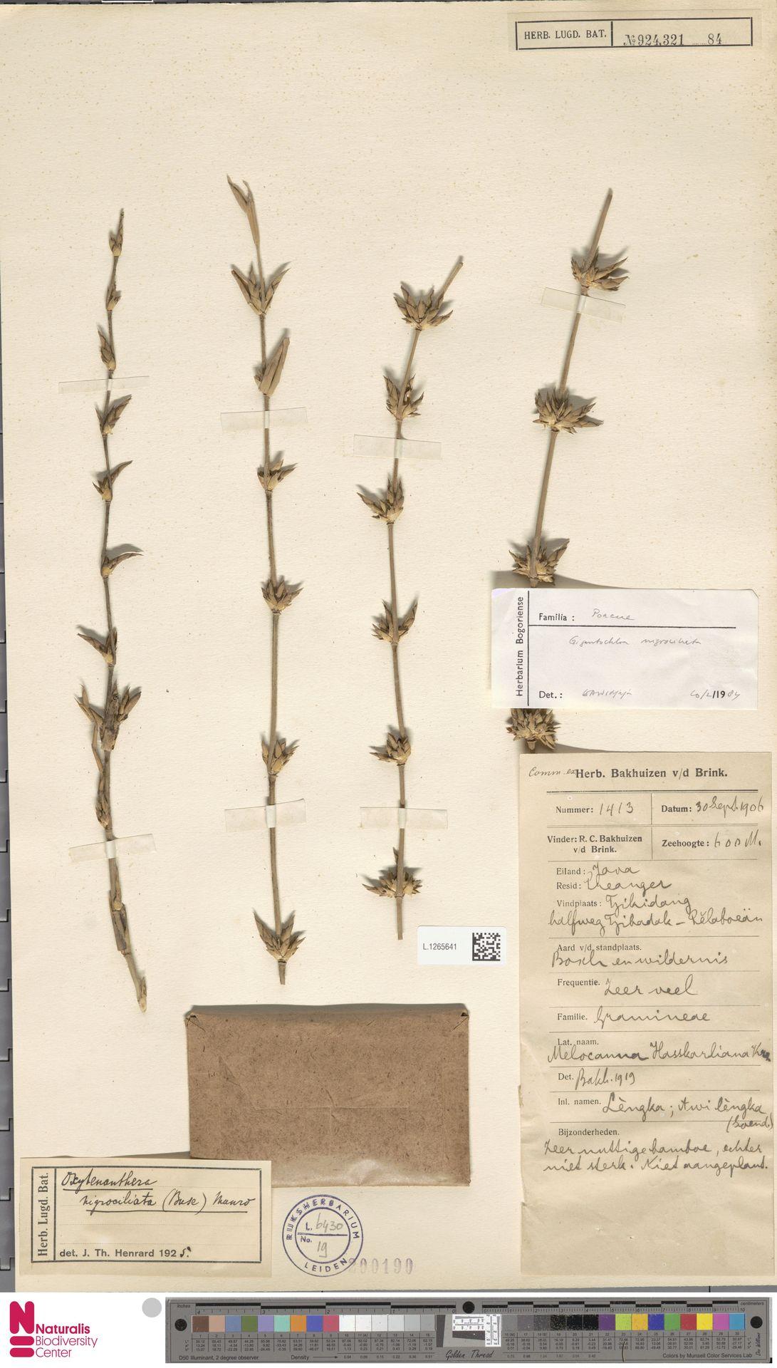 L.1265641 | Gigantochloa nigrociliata Kurz