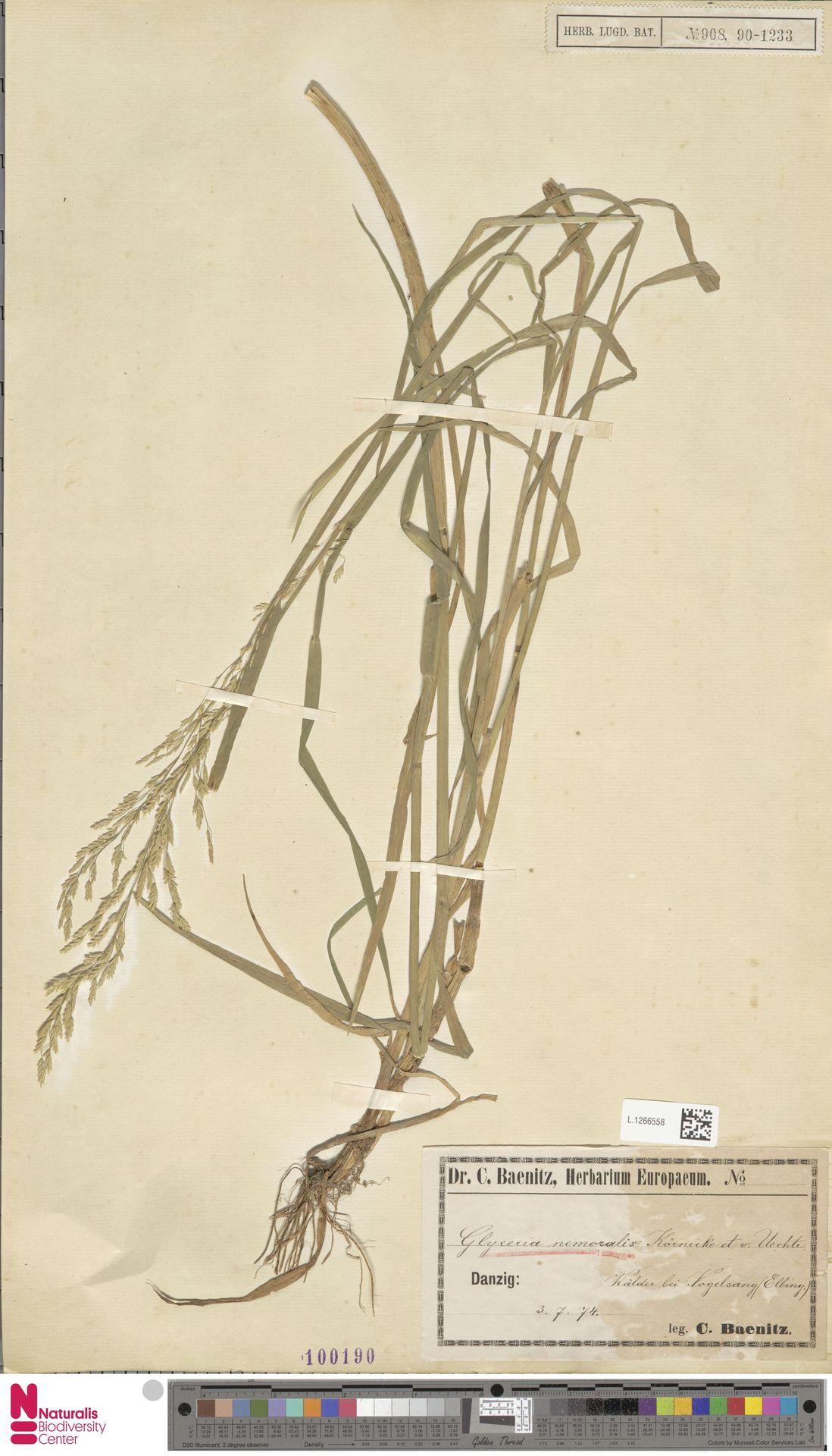 L.1266558 | Glyceria nemoralis (Uechtr.) Uechtr. & Körn.